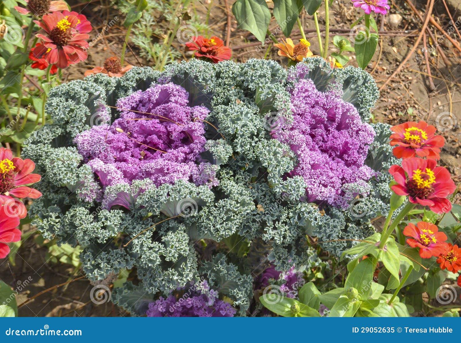 Cavolo ornamentale del cavolo in un giardino immagine for Cavolo ornamentale