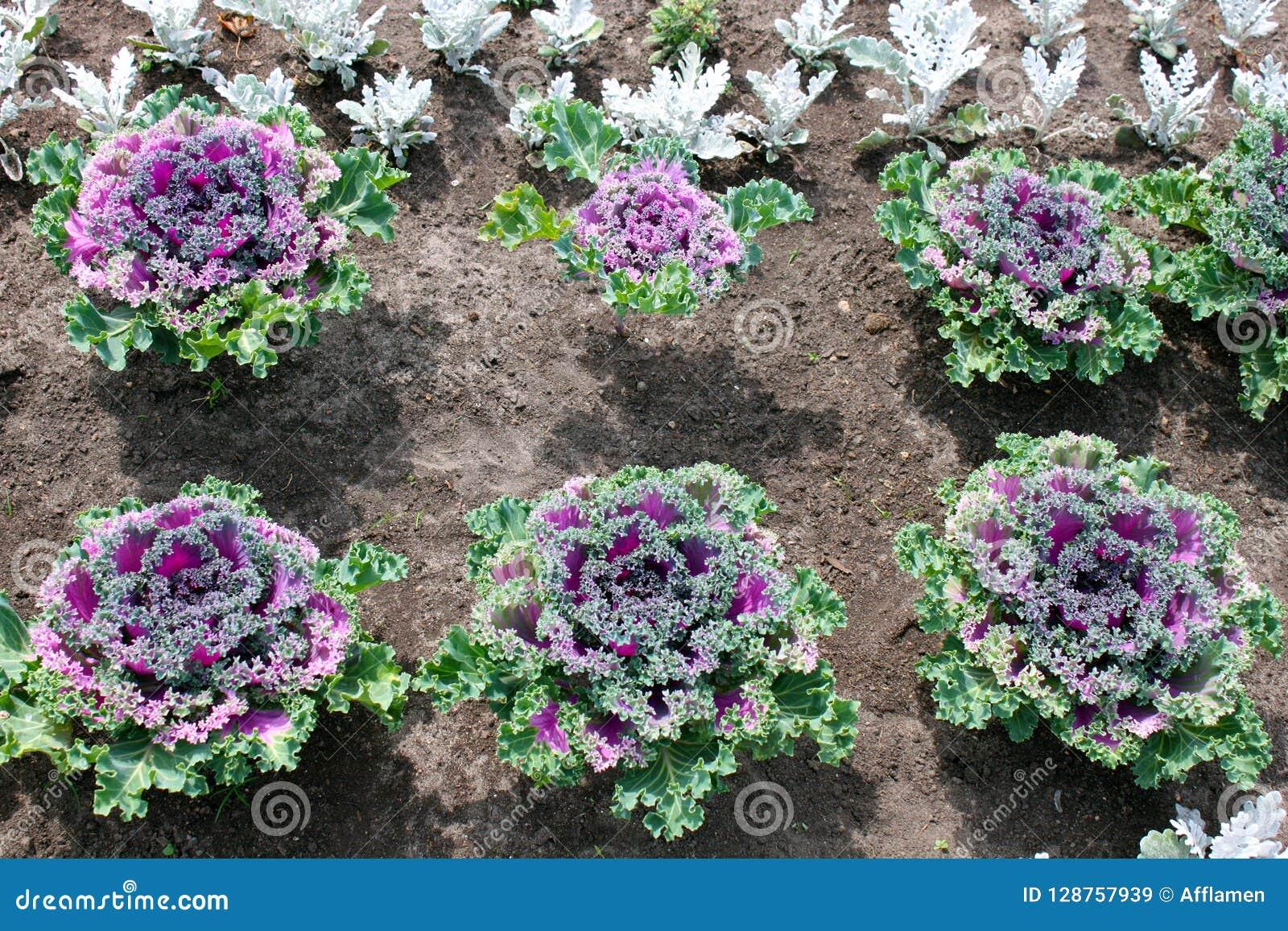 Cavolo ornamentale piantato nelle file