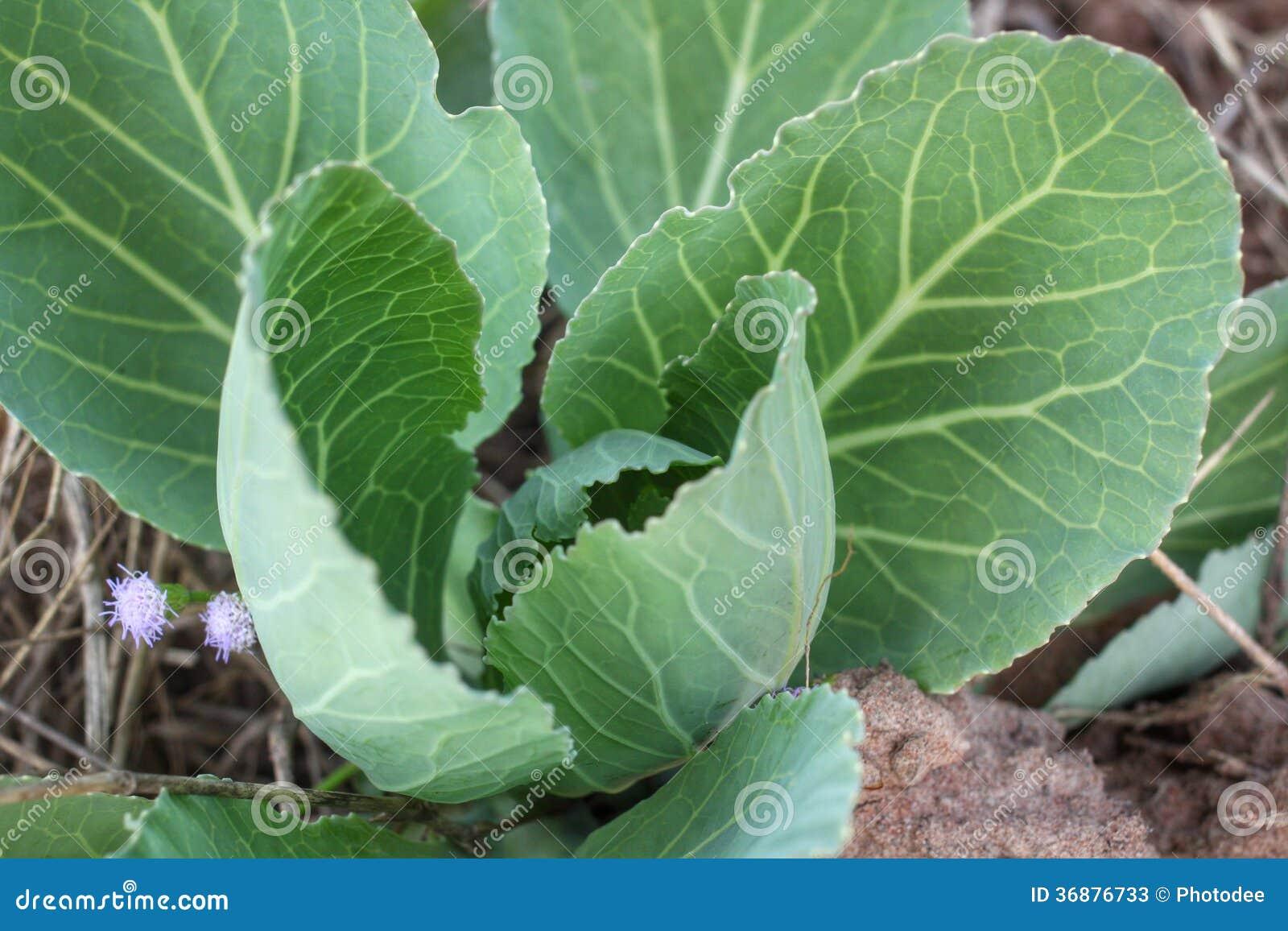 Download Cavolo verde immagine stock. Immagine di insalata, veggies - 36876733
