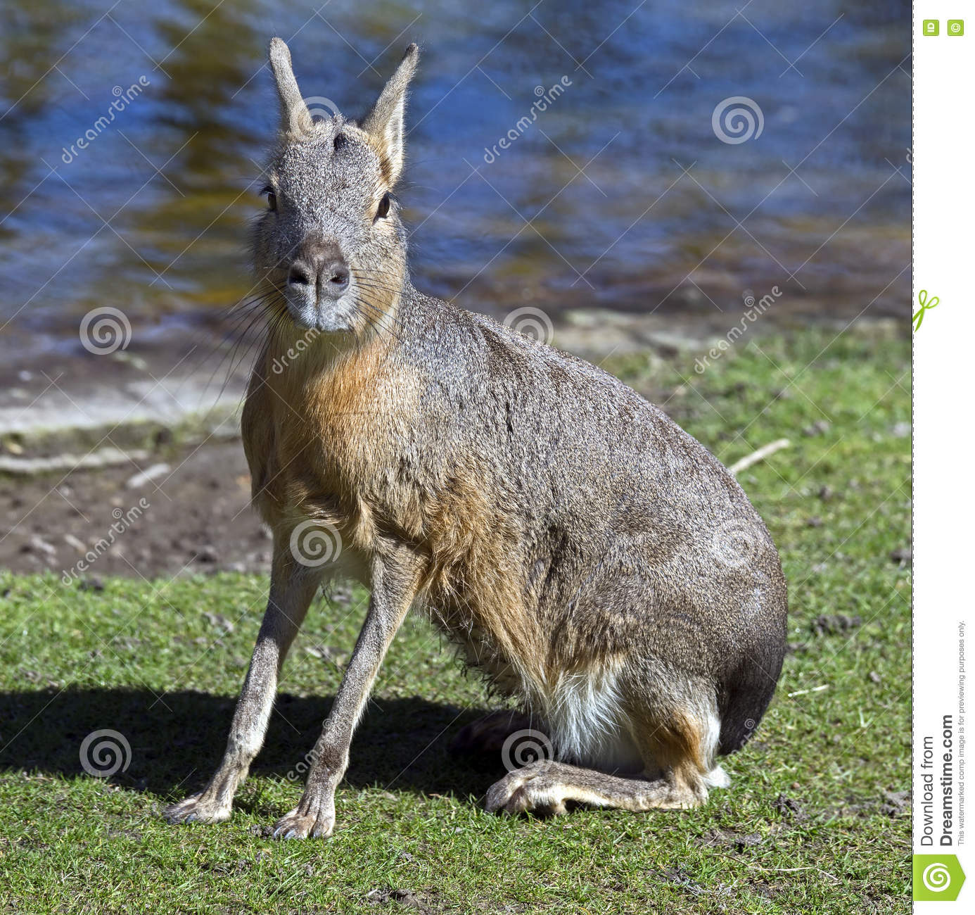 Cavy Patagonian