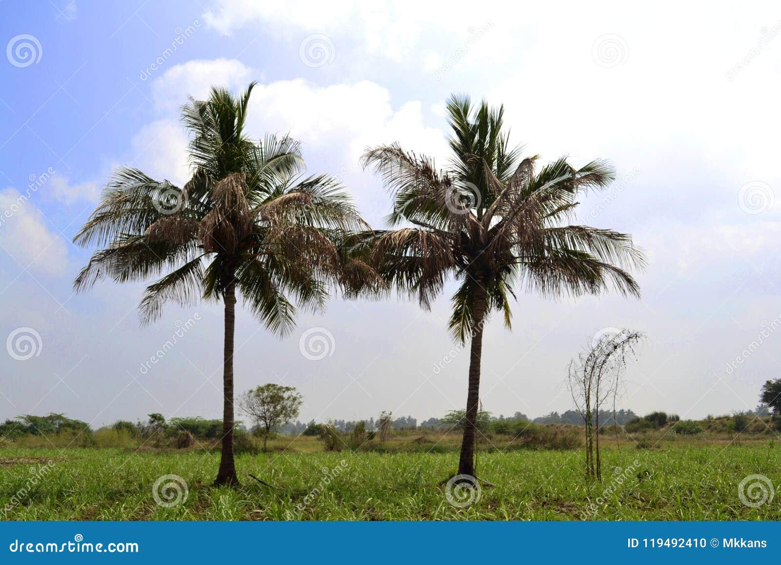 Cayo kokosowy Cuba Guillermo drzewo