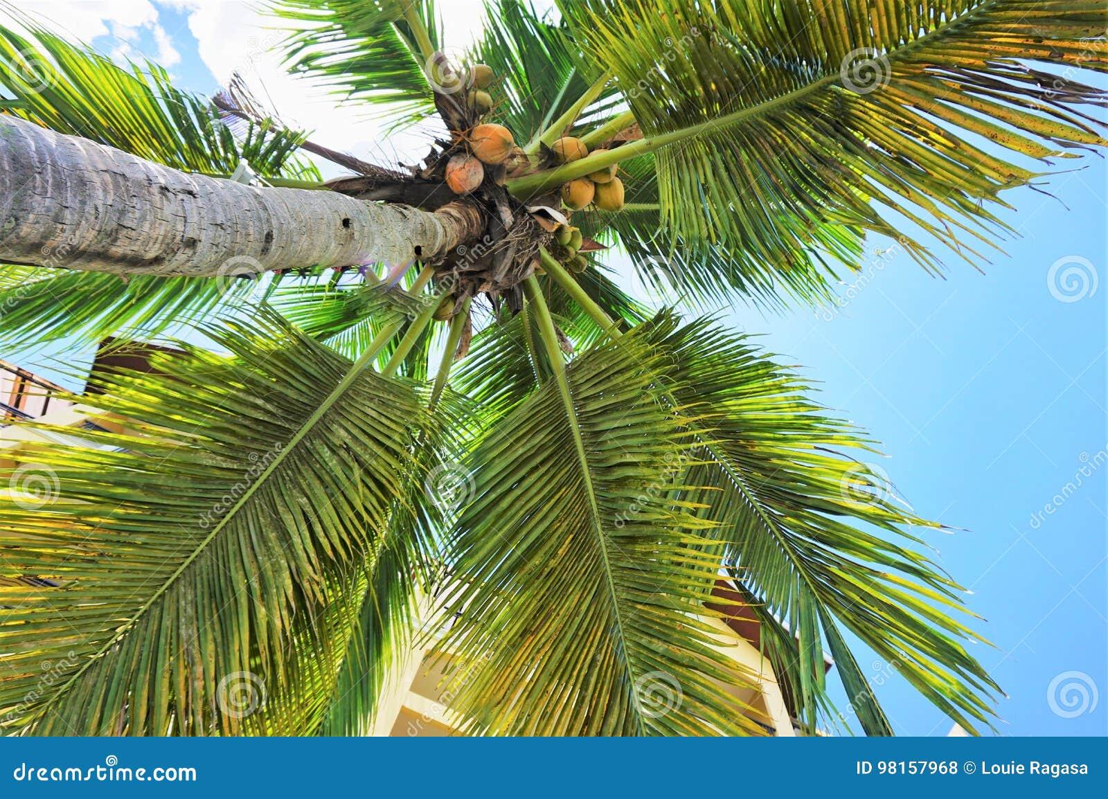 Cayokokosnötcuba guillermo tree