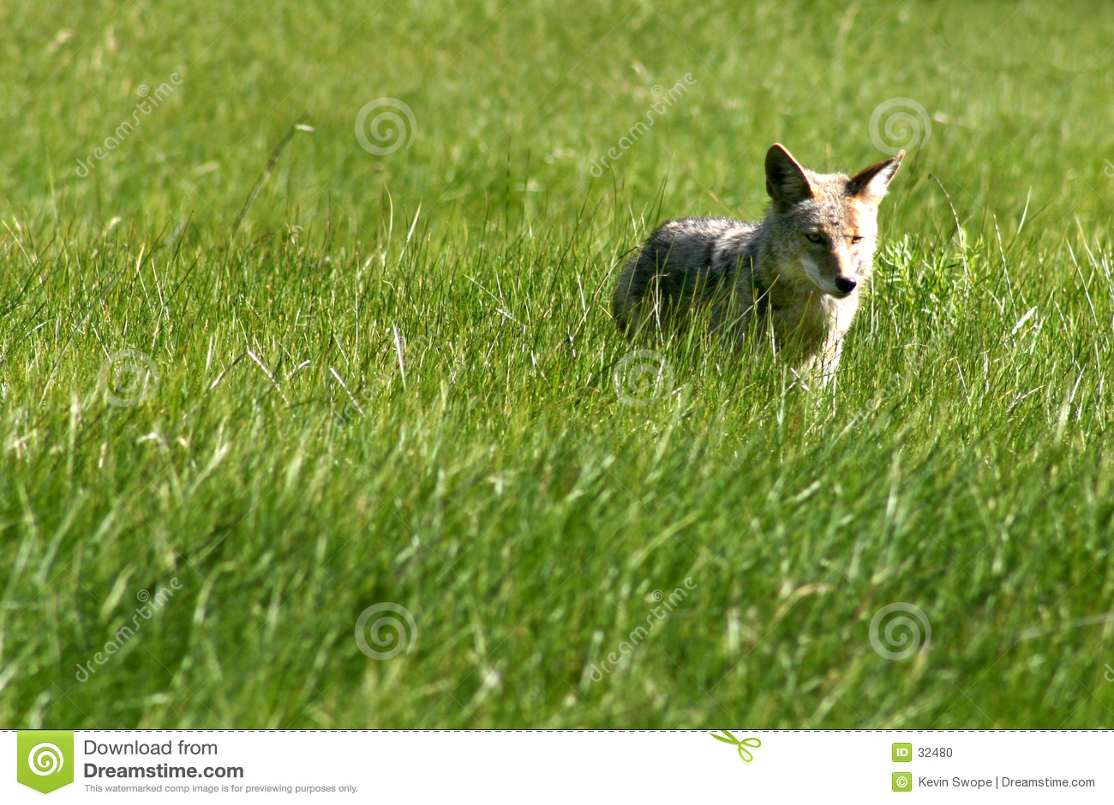 Download Cazador del coyote foto de archivo. Imagen de perros, coyotes - 32480