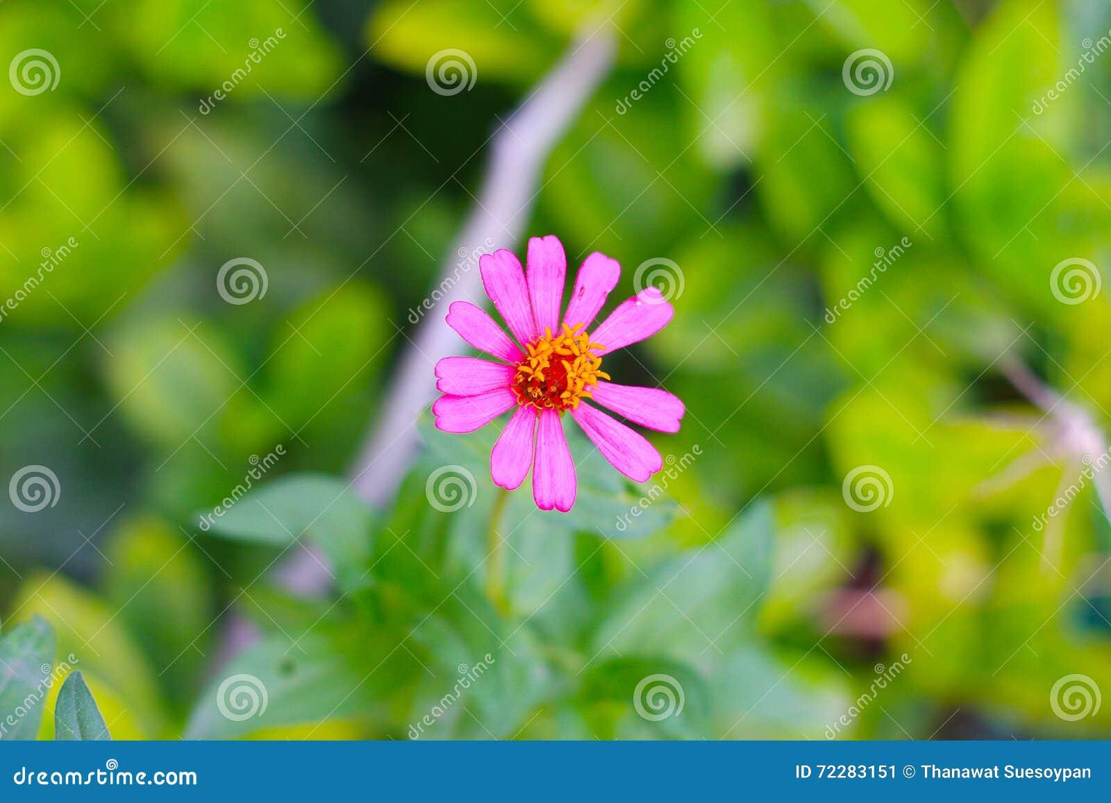 Ce zinnia fleurit plus beau que des fleurs par les fans qui ont eu