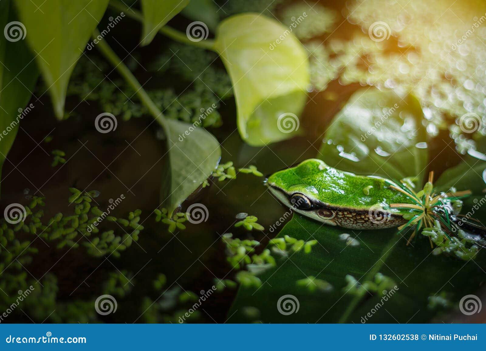 Cebo de la rana