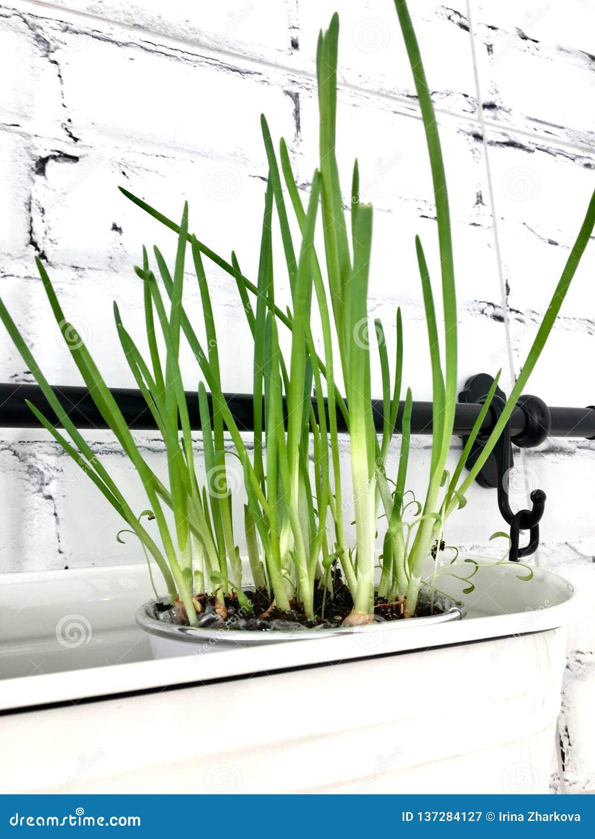 Cebolas verdes da mola nova nos pratos cerâmicos brancos na cozinha