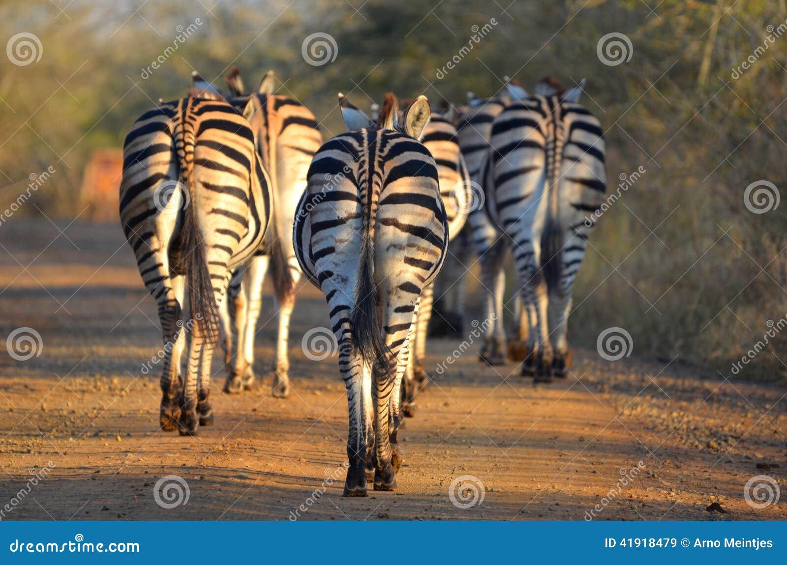 Cebra de Burchells (burchellii del quagga del Equus)