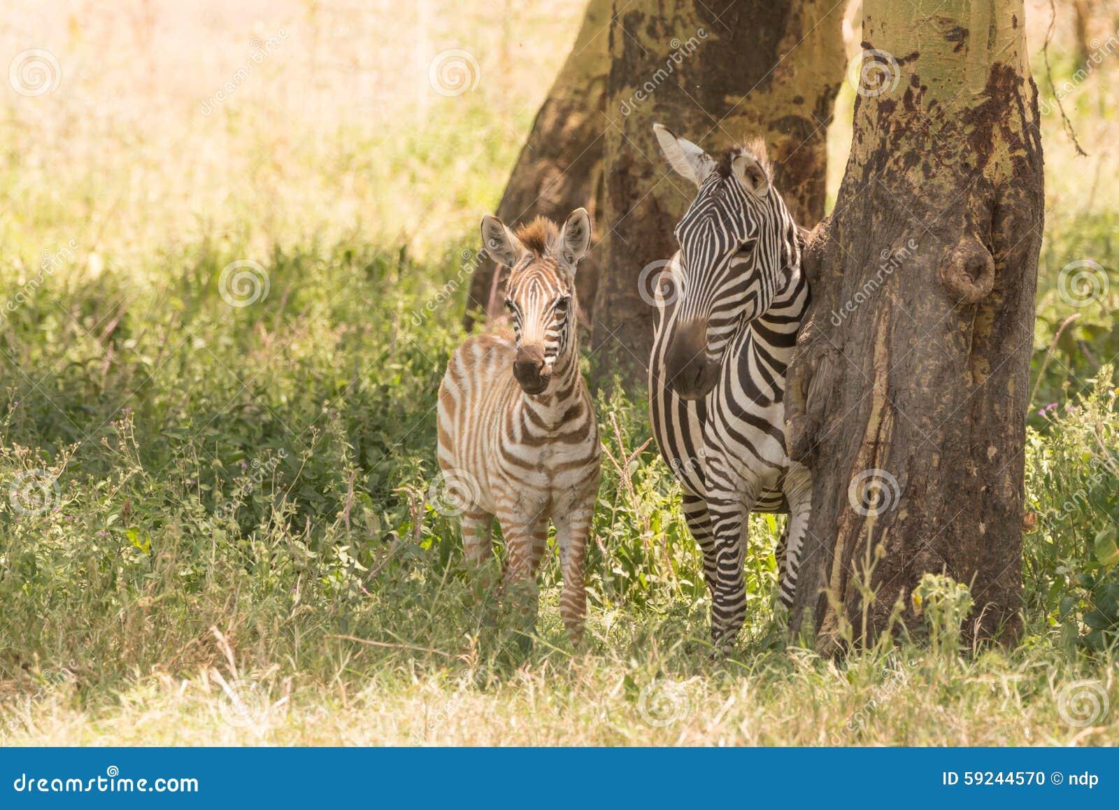 Download Cebra De La Madre Y Del Bebé De Lado A Lado En Sombra Foto de archivo - Imagen de áfrica, rayas: 59244570