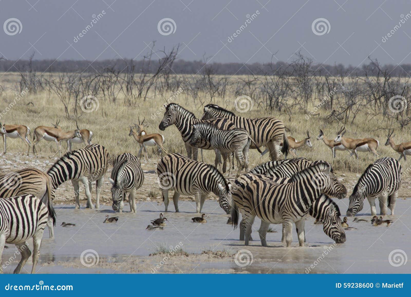 Download Cebra De Los Llanos En El Agujero De Riego, Parque Nacional De Etosha, Namibia Foto de archivo - Imagen de agujero, safari: 59238600