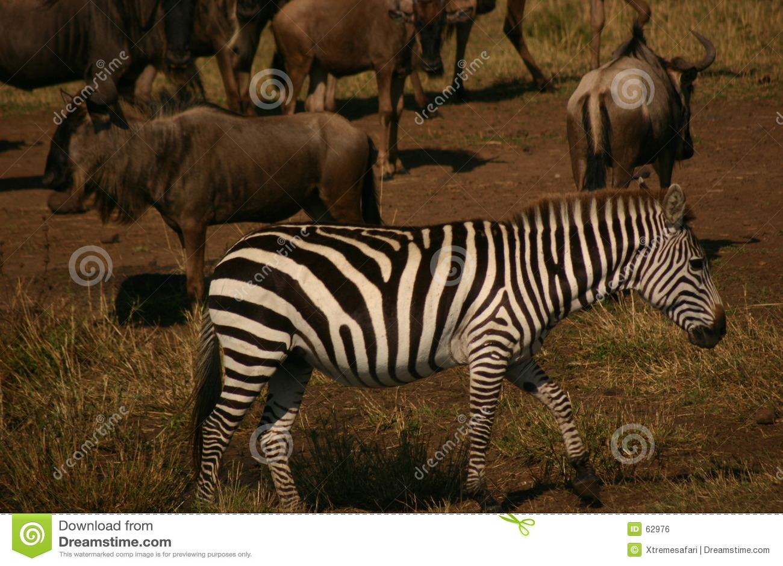 Cebra de Mara