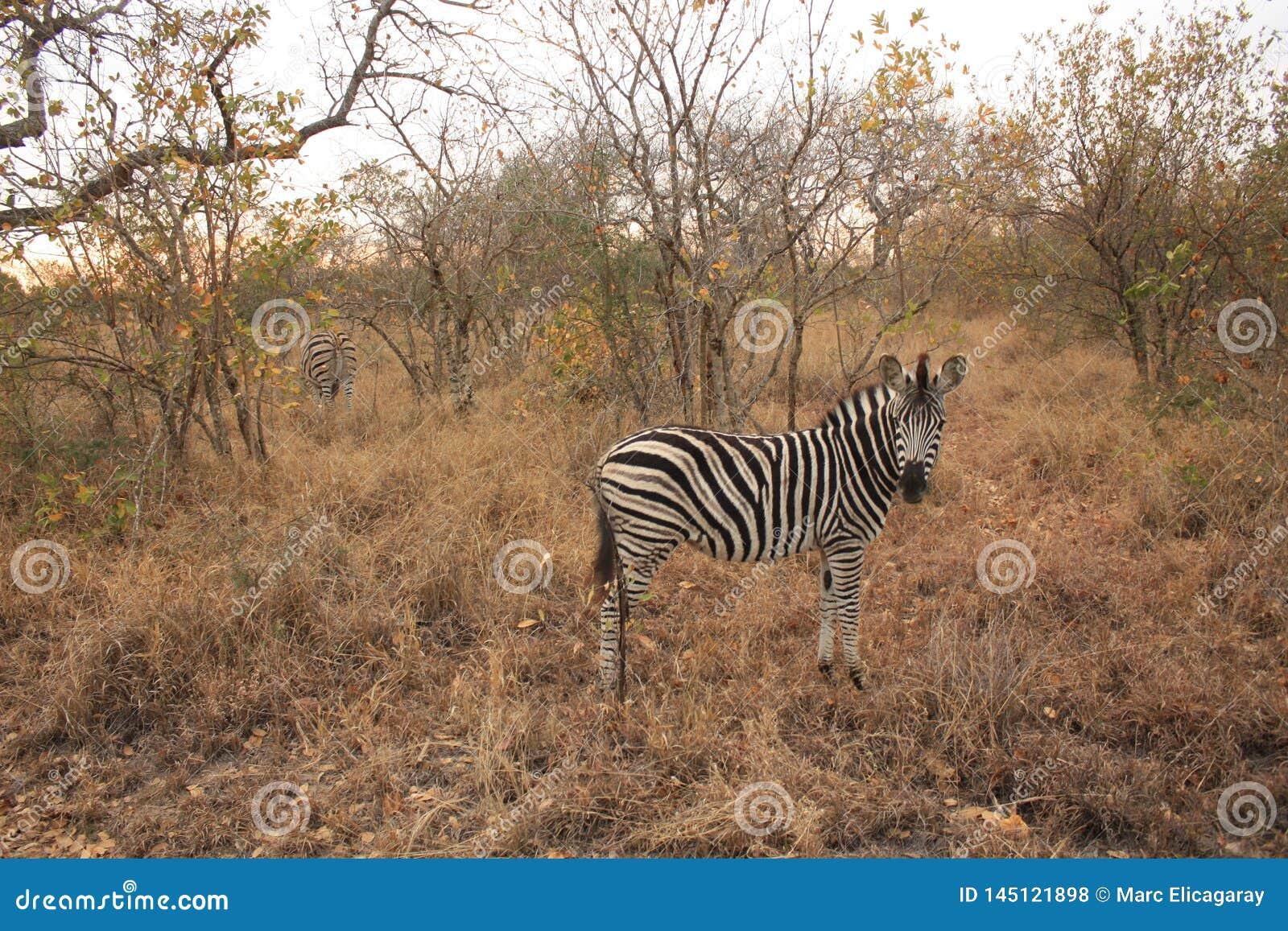 Cebra en el parque nacional Suráfrica de Kruger