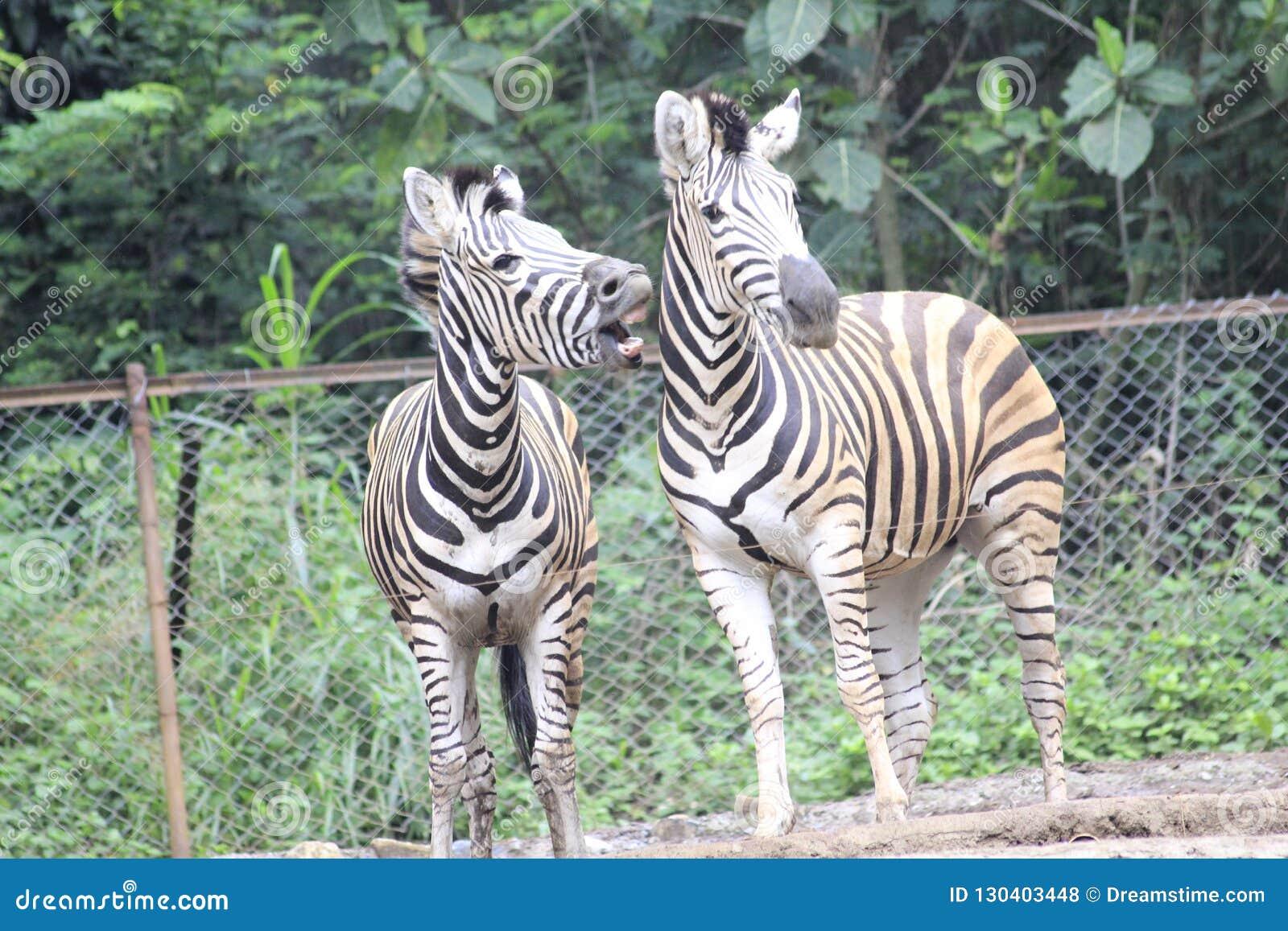 Cebra en el parque zoológico Bandung Indonesia 6