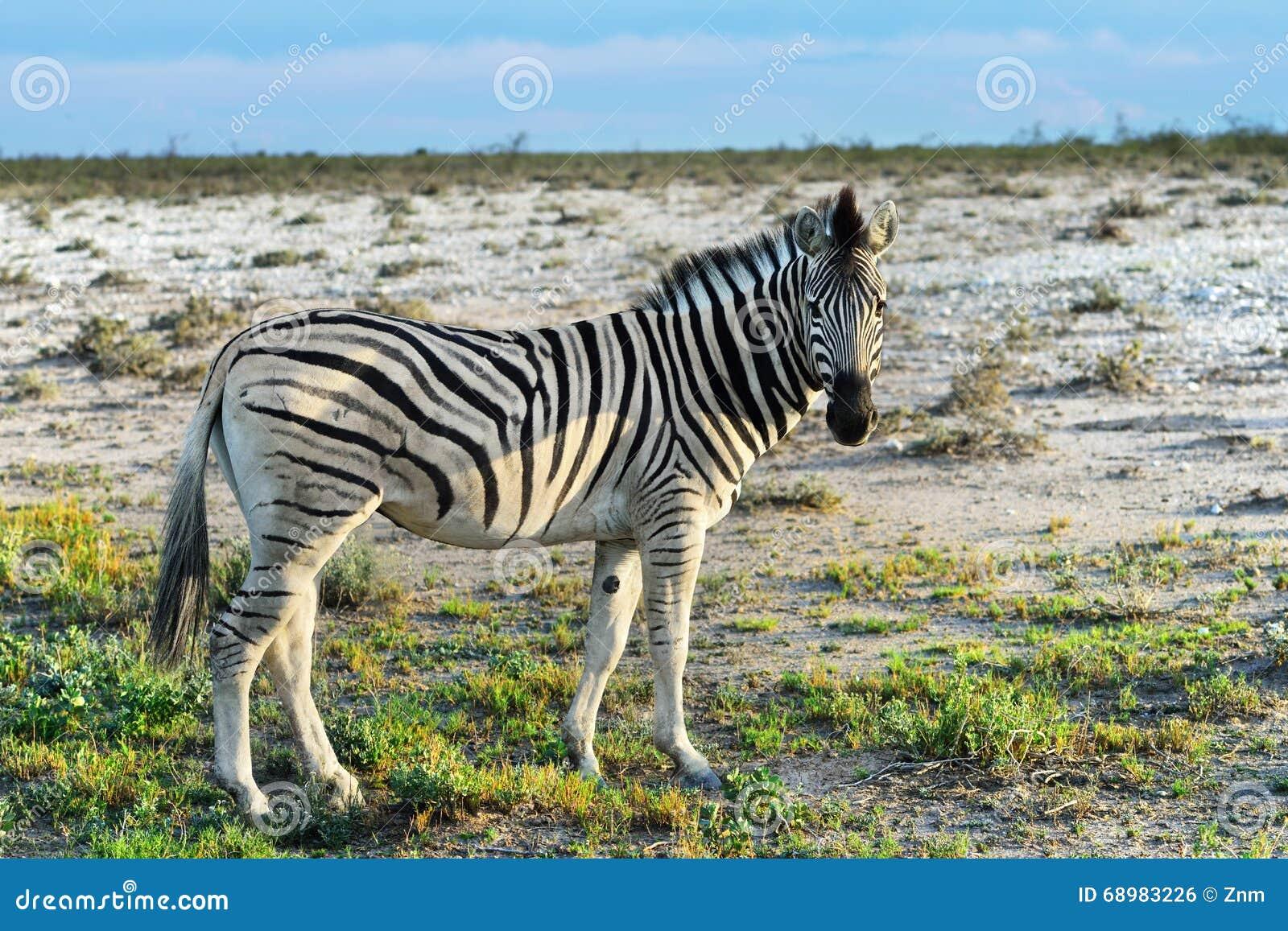 Cebra en Etosha, Namibia