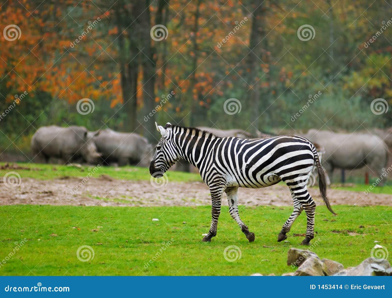 Cebra en parque del safari