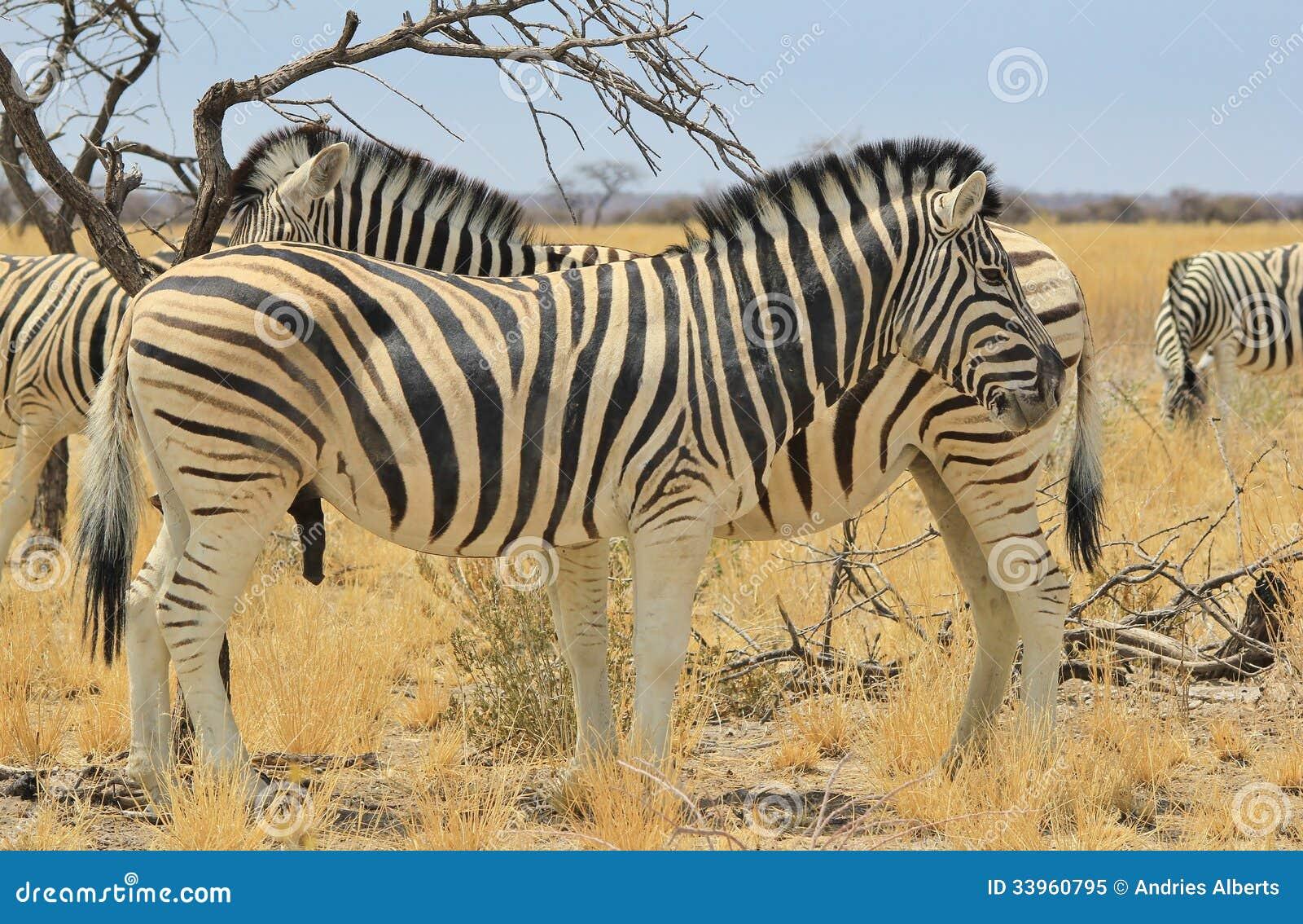 Cebra - fondo de la fauna de África - rayas hermosas del doble del semental