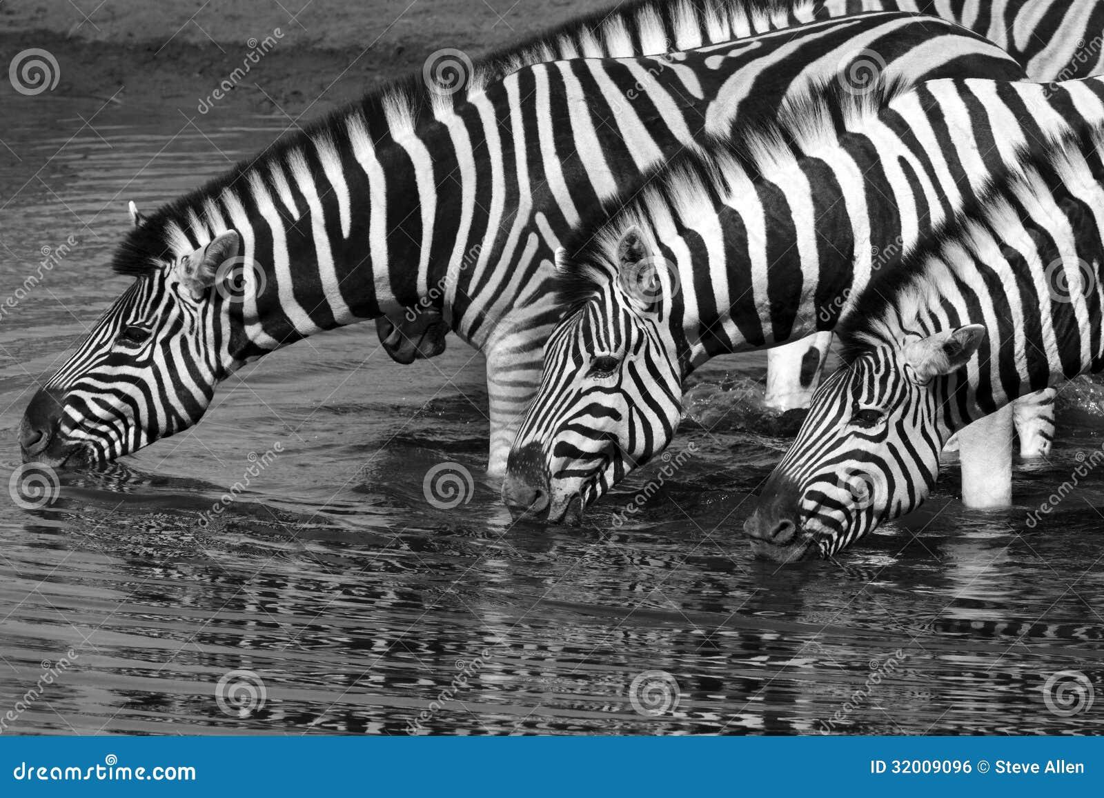 Cebra (quagga) del equus - parque nacional de Etosha - Namibia