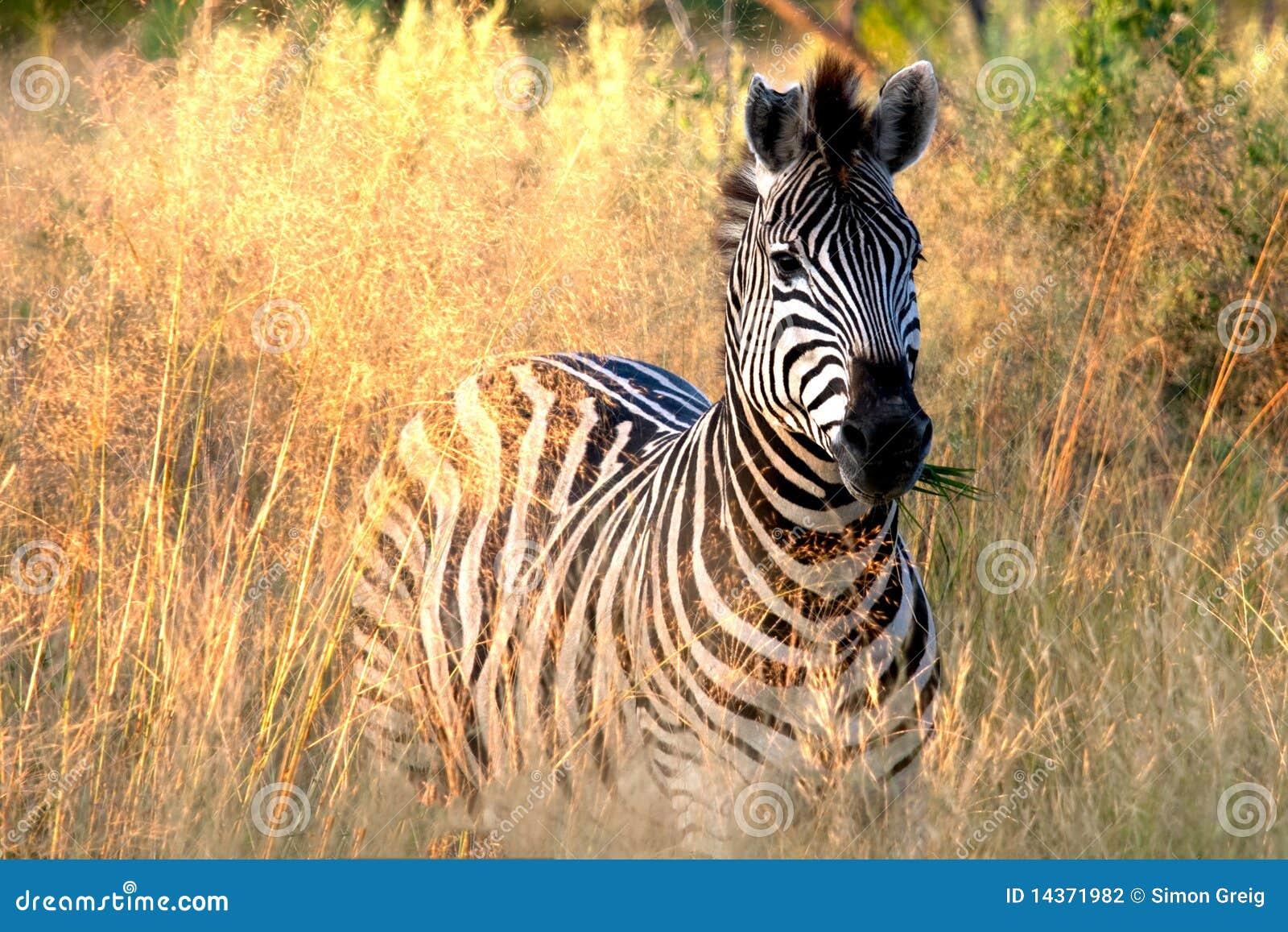 Cebra que come la hierba foto de archivo. Imagen de animal - 14371982
