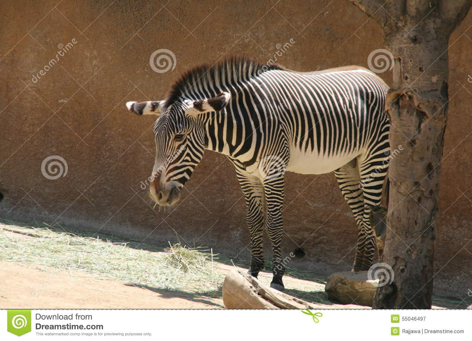 Cebra Que Come La Hierba - Parque Zoológico De Los Ángeles Imagen de ...