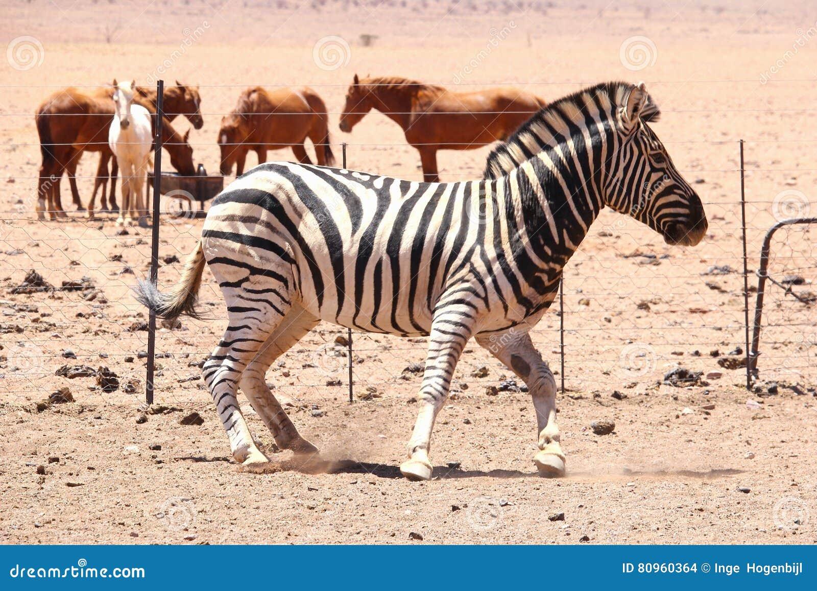 Cebra Y Caballos Salvajes, Desierto De Namibia Foto de archivo ...