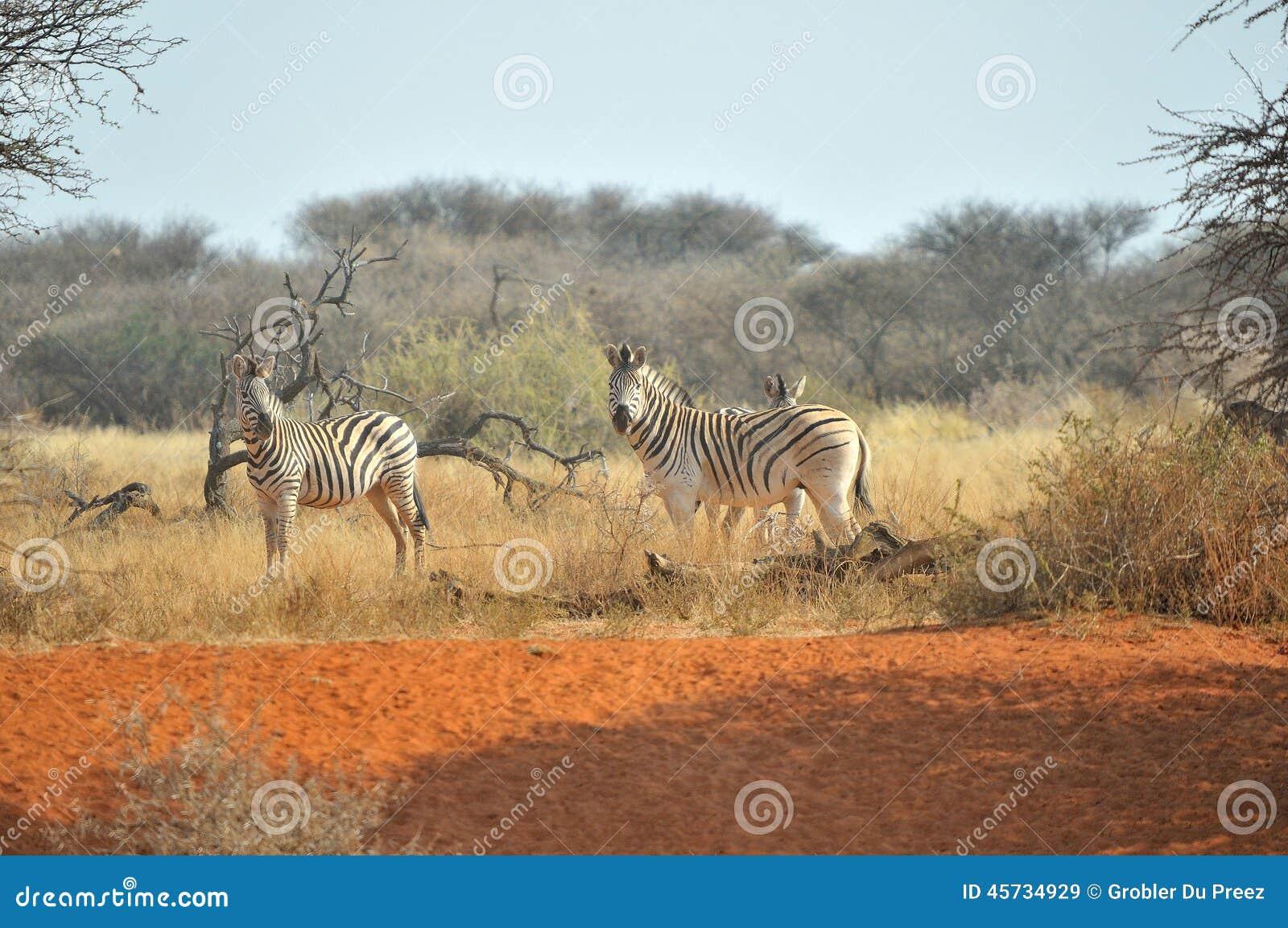 Cebras en la arena roja