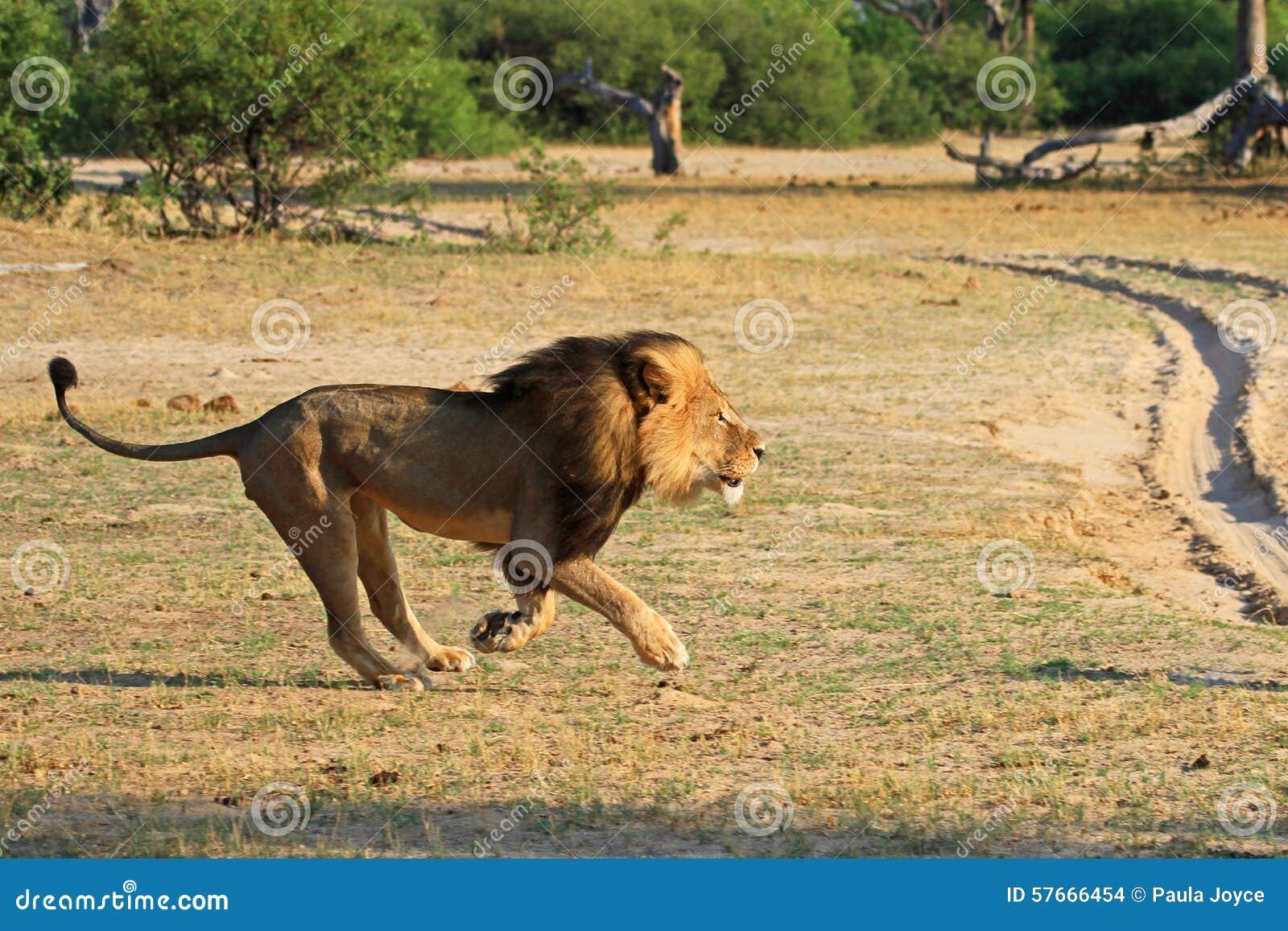 Cecil que corre a través de los llanos en el parque nacional de Hwange