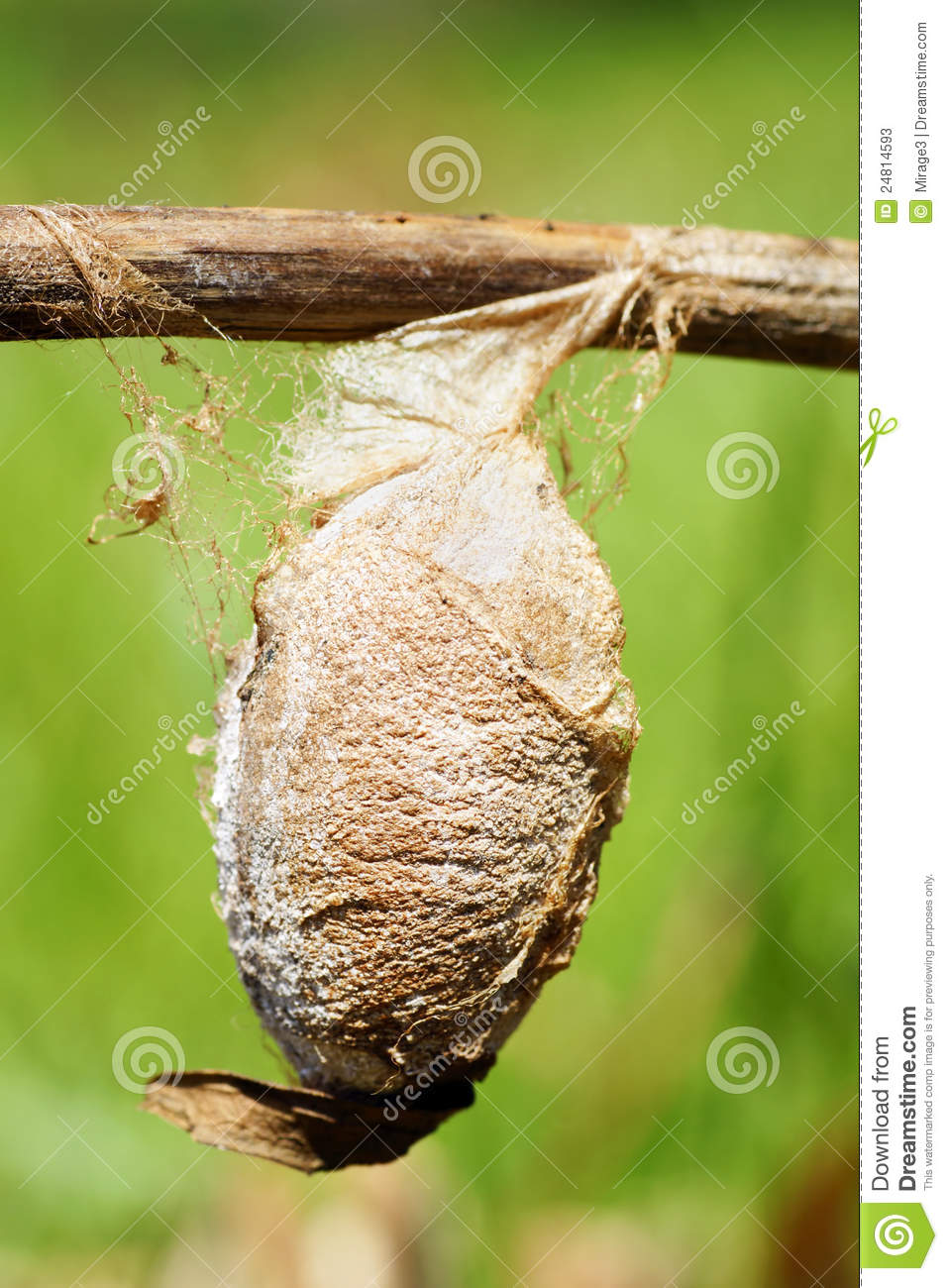 Cecropia Moth Cocoon Stock Photos Image 24814593