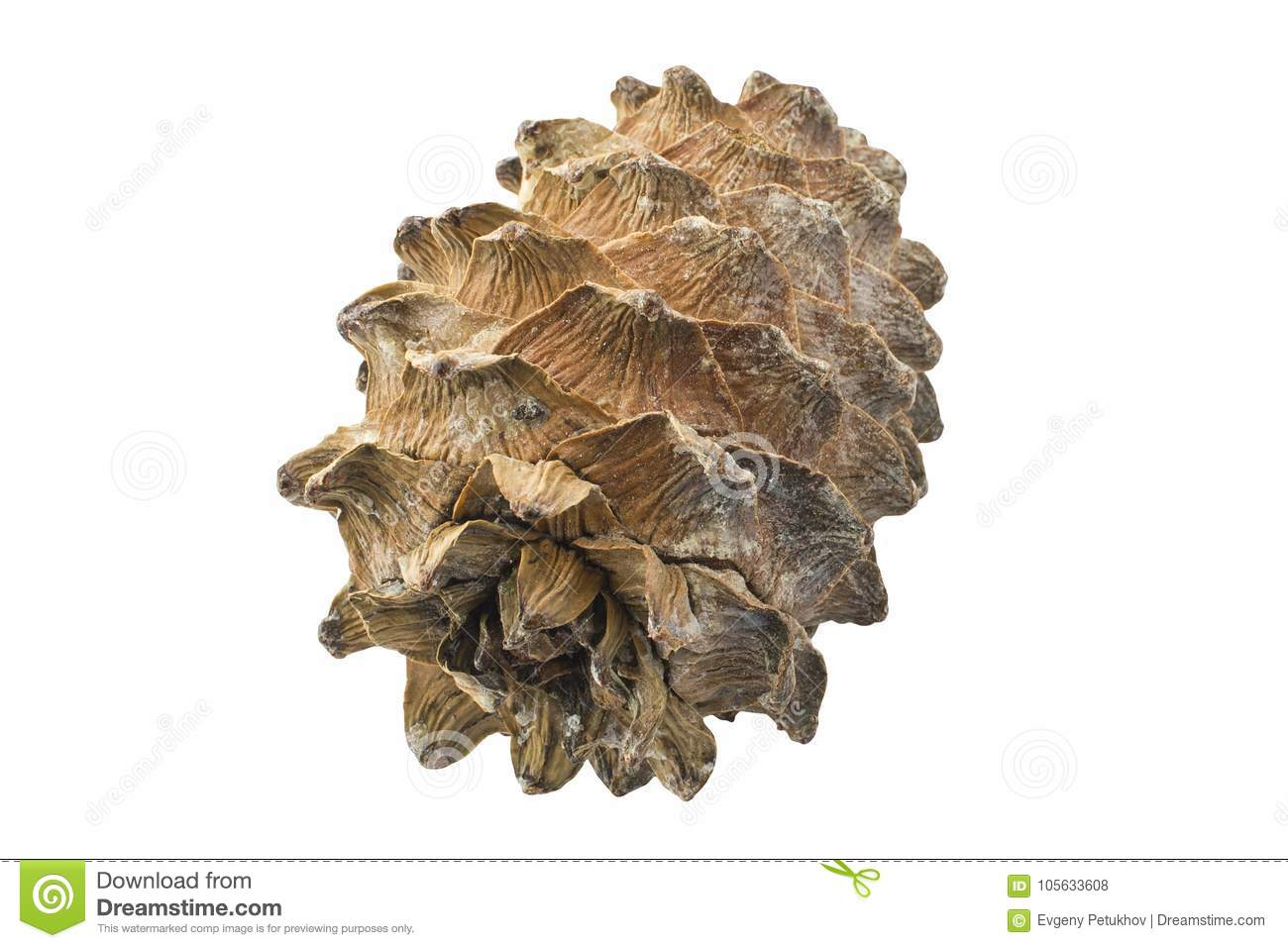 Cedar Cone Isolated no fundo branco closed
