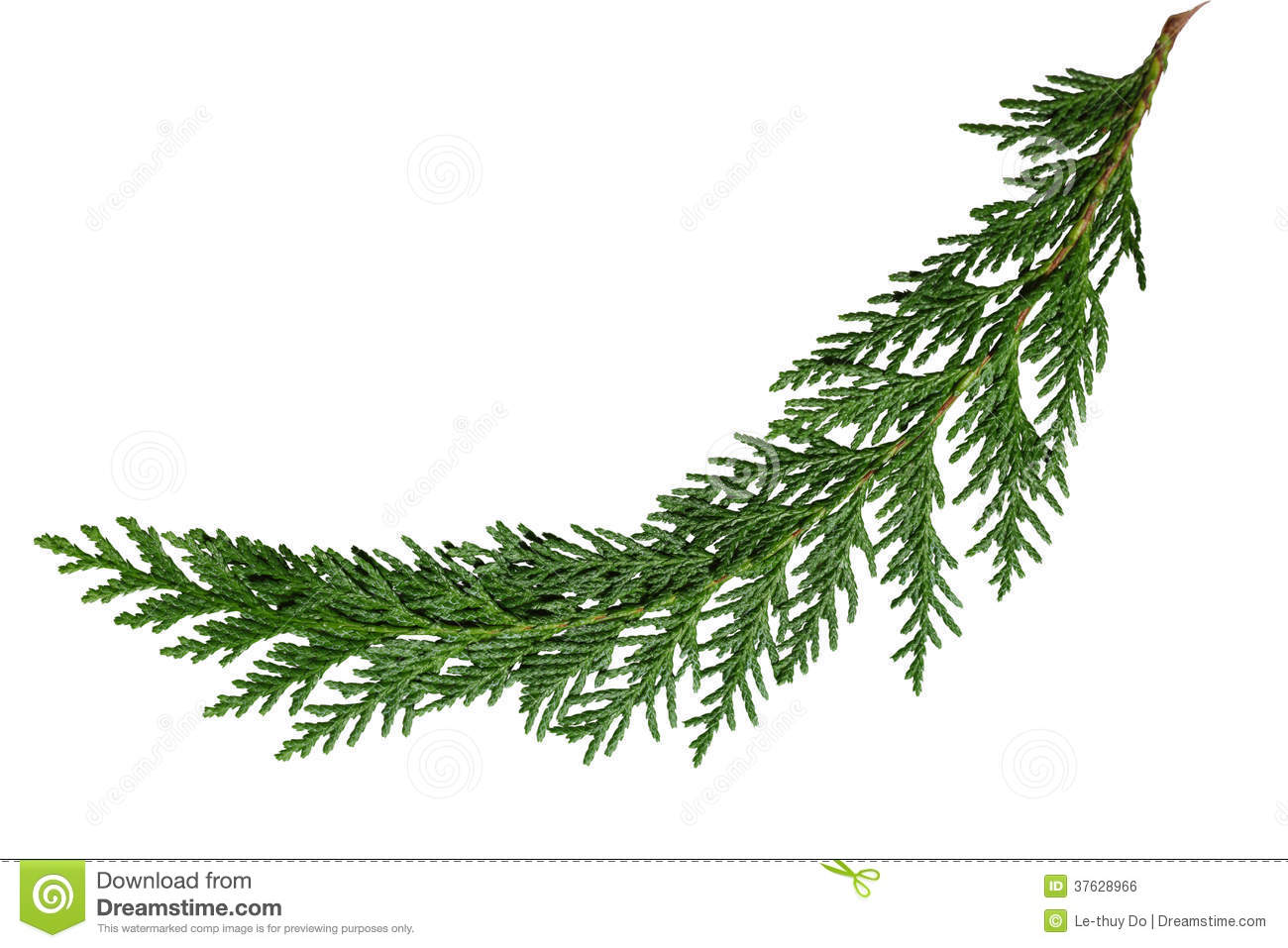 cedar cypress leaf stock photo image of pine background 37628966