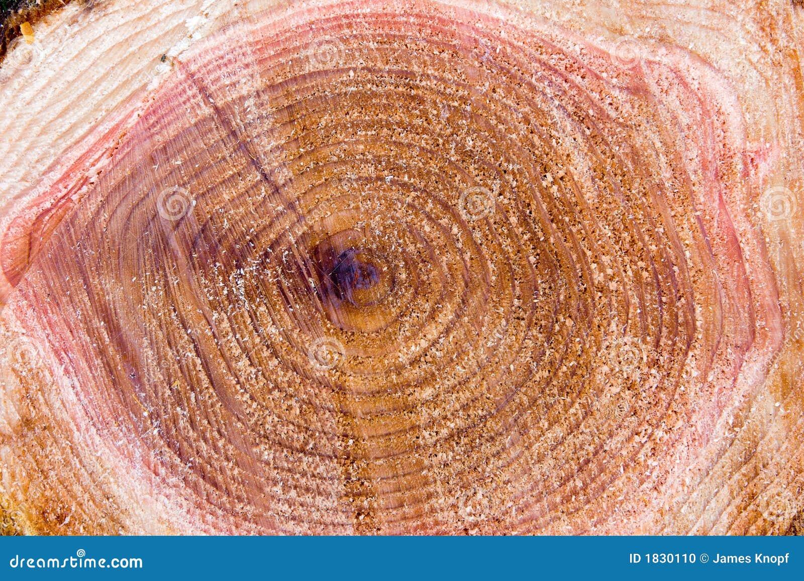 Freshly cut tree stump as a background. From a cedar tree (genus ...
