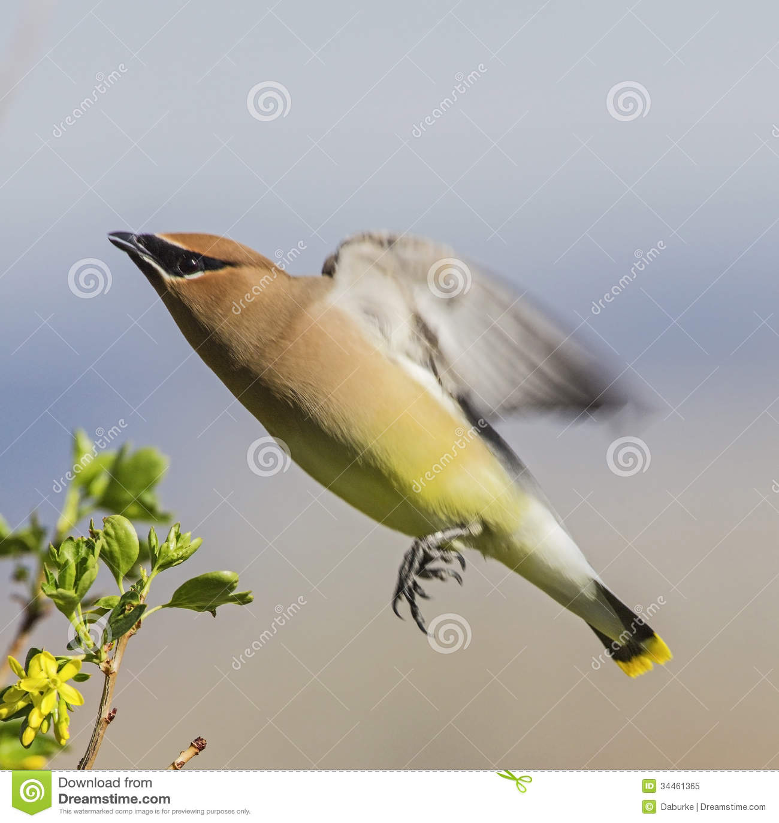 Cedar Waxwing Bombycilla cedrorum in flight