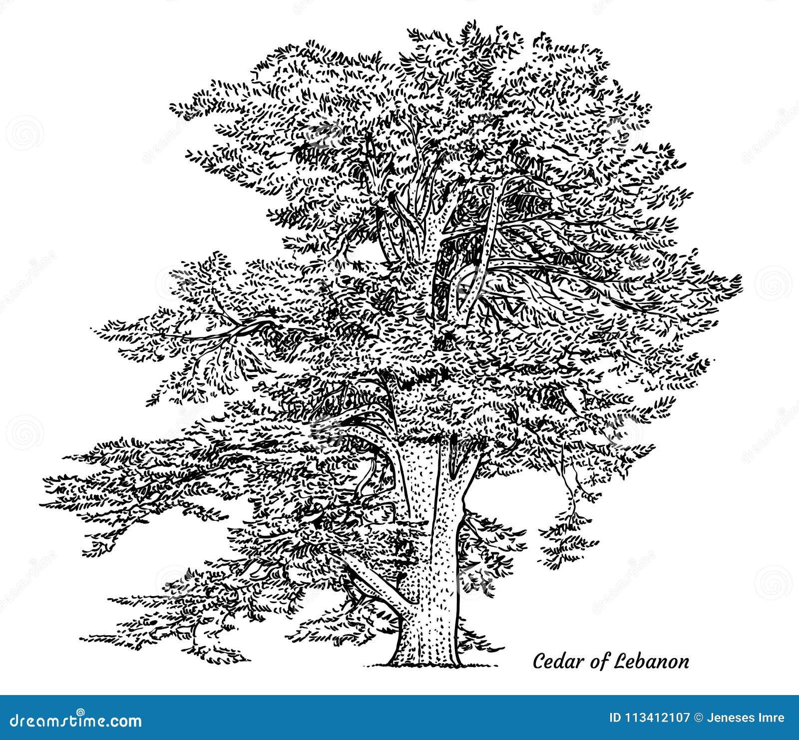 Cedro da ilustração da árvore de Líbano, desenho, gravura, tinta, linha arte, vetor