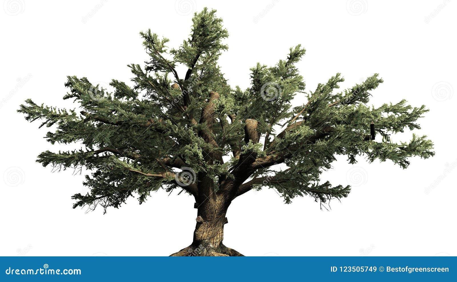 Cedro del árbol de Líbano