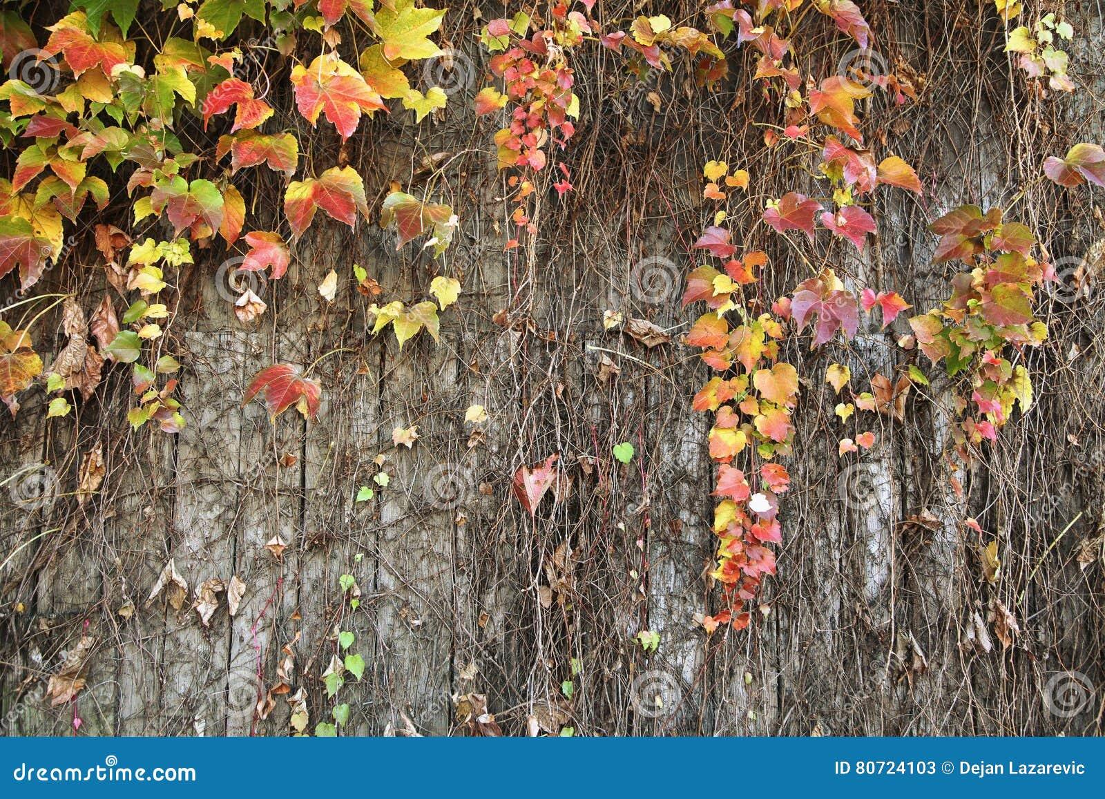 Ceeper planta a parede