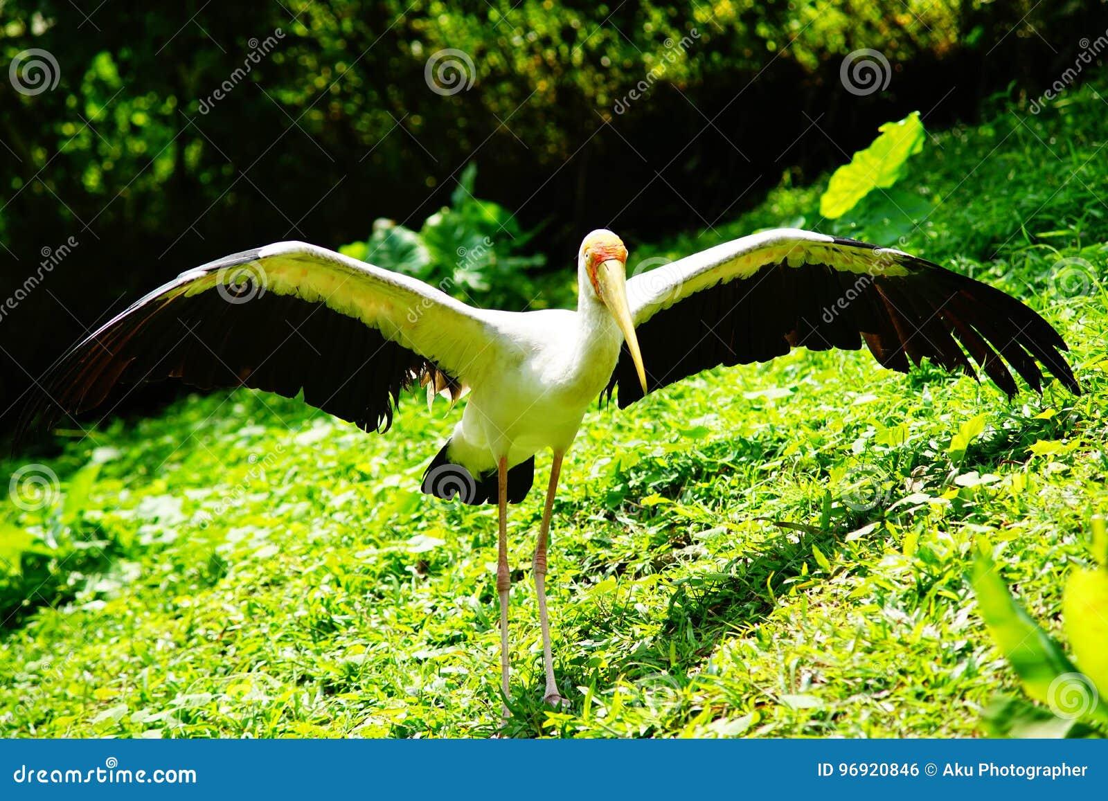 Cegonha Amarelo-faturada