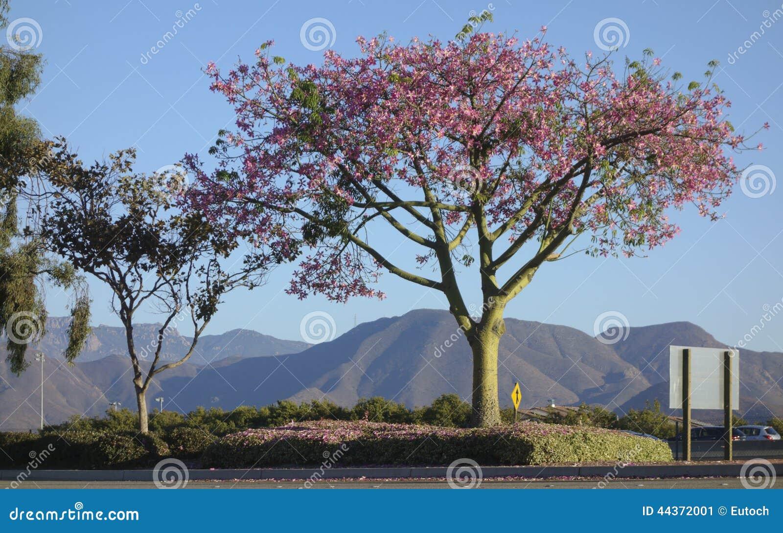 Ceiba Speciosa o albero di seta del filo di seta
