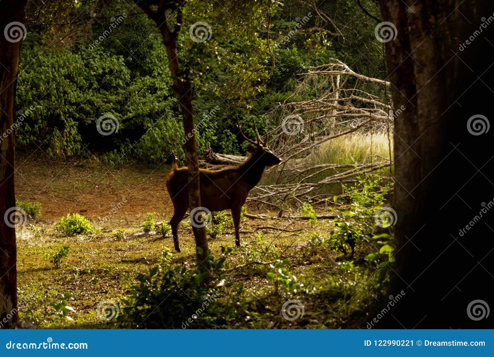 Ceilán manchó los ciervos, parque nacional de Wilpattu, Sri Lanka
