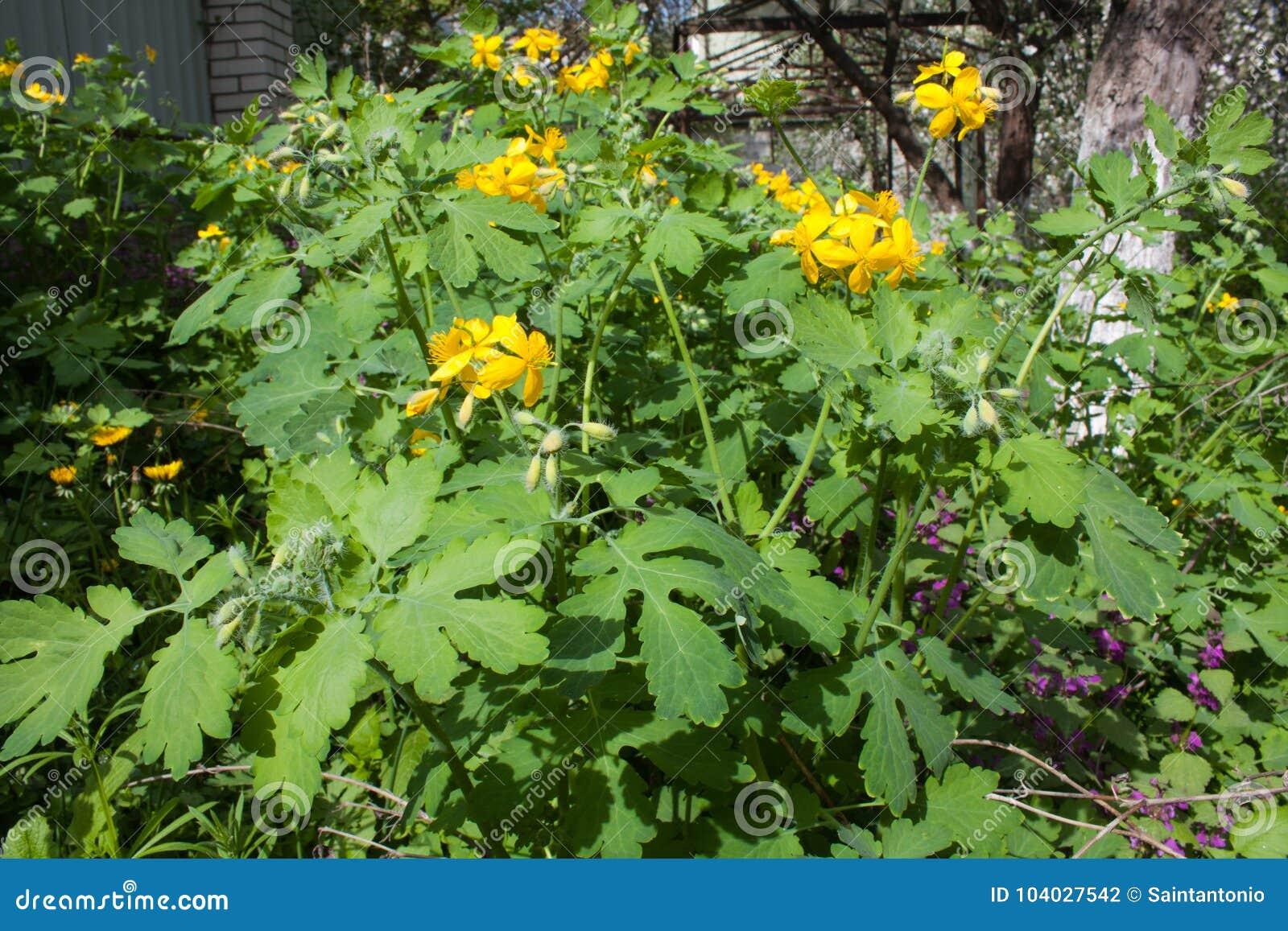 Celandine Chelidonium Yellow Flower Natural Medical Herb Stock