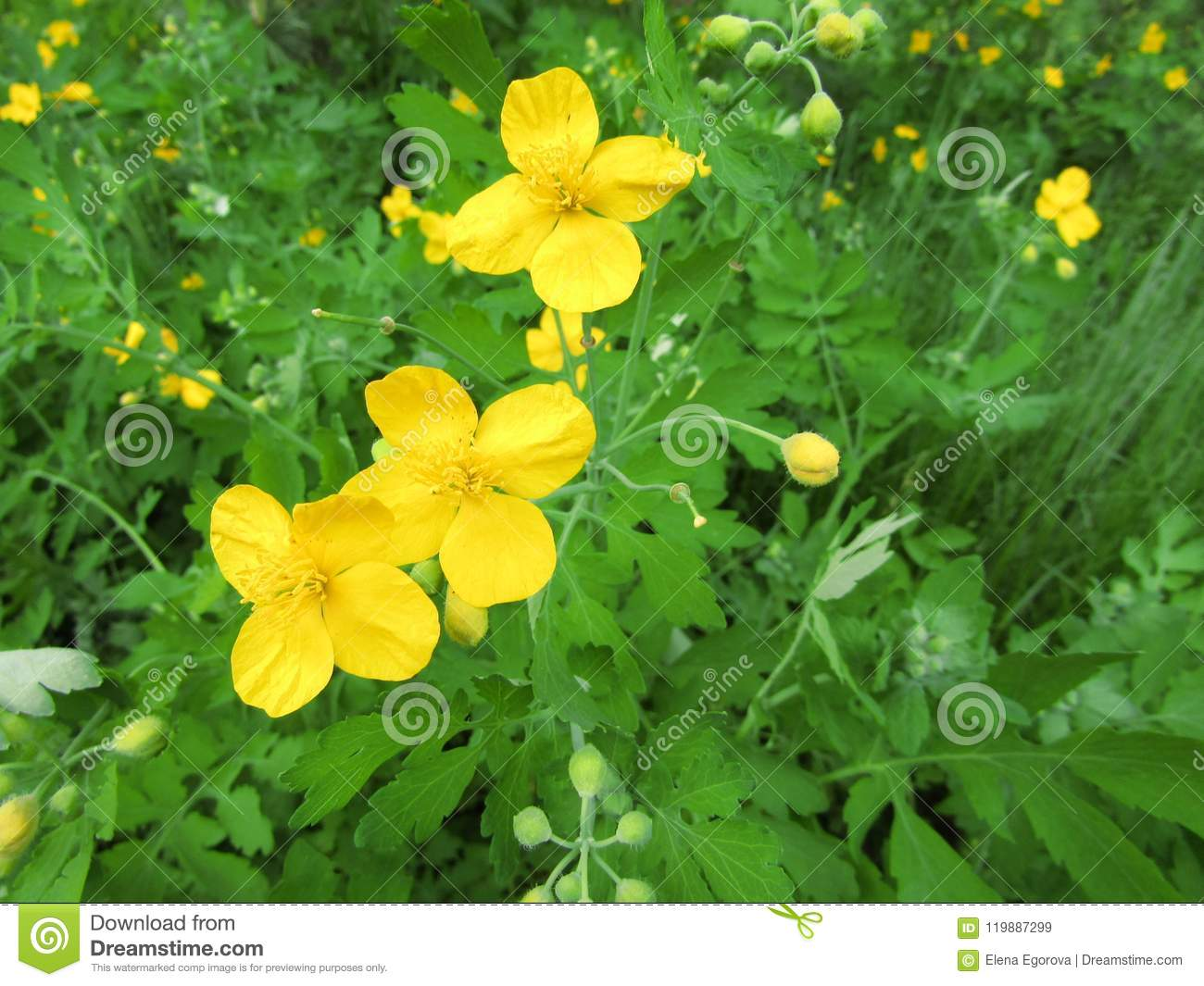 A Celandine Yellow Flower On A Grass Background Stock Image Image