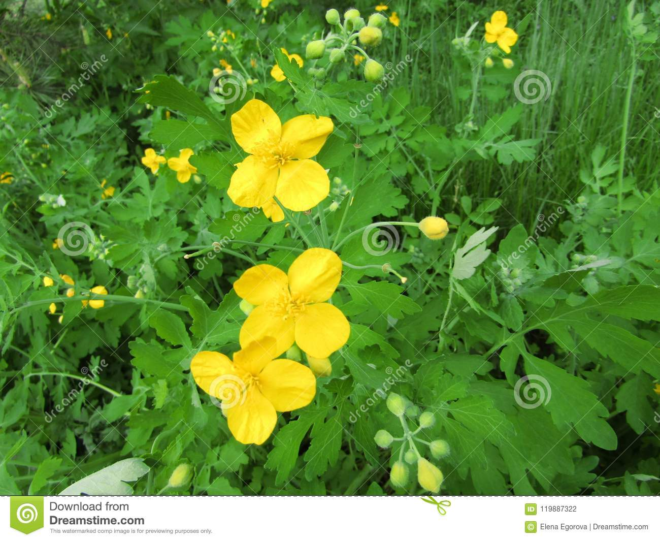 A Celandine Yellow Flower On A Grass Background Stock Photo Image