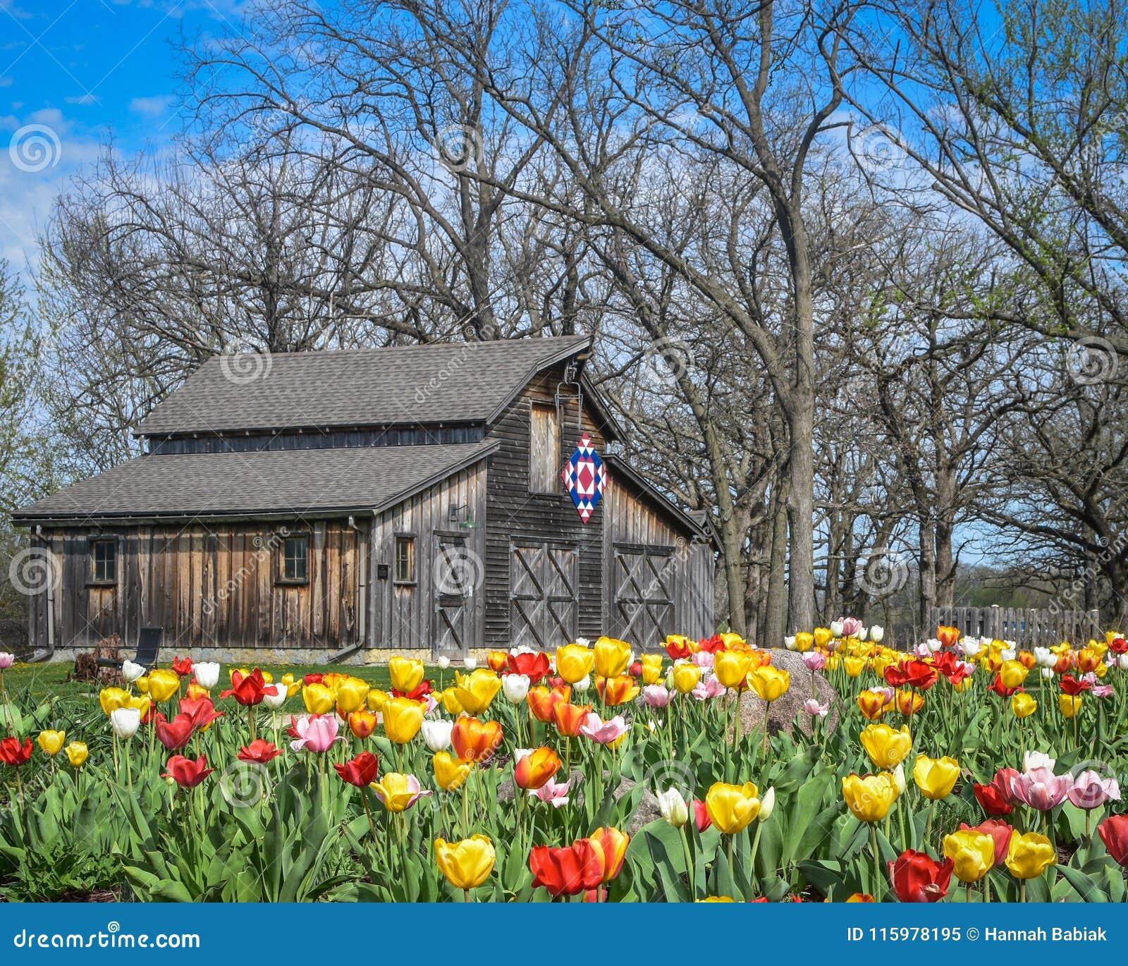 Celeiro patriótico da edredão com as tulipas que florescem - Beloit, WI