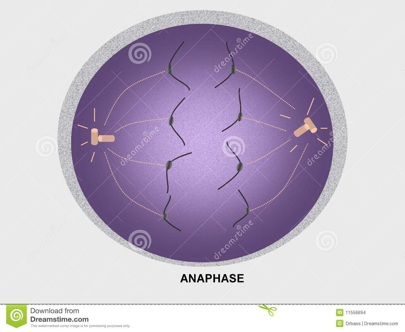 Cell Division Anaphase Stock Images