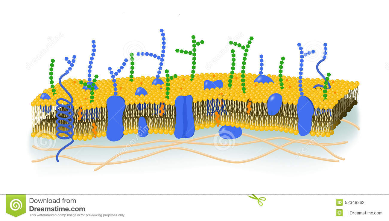 Cell Membrane Diagram Blank.Cell Membrane Illustration Stock Illustration Illustration