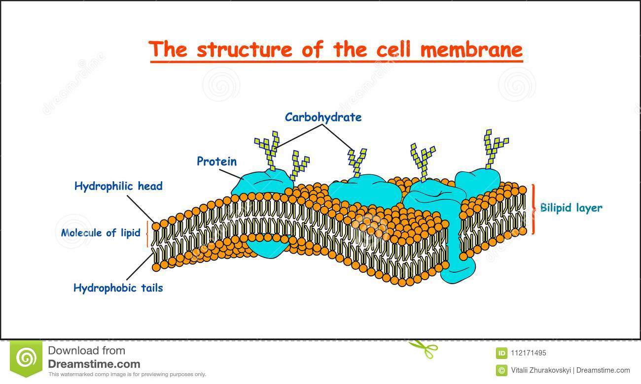 Cell Membrane Structure On White Background Isolated. Education ...