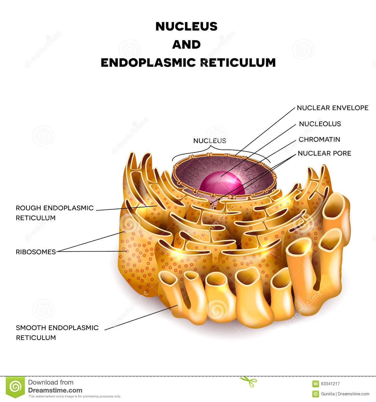 Cell Nucleus And Endoplasmic Reticulum Stock Vector