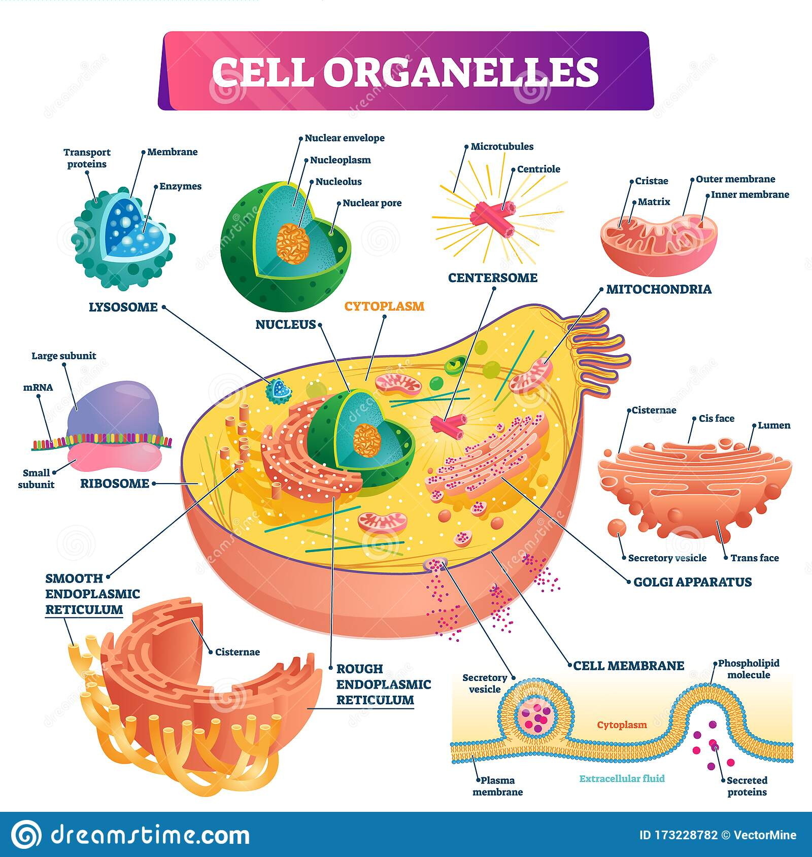 Cell Nucleus. Parts Of The Cell Nucleus Vector ...