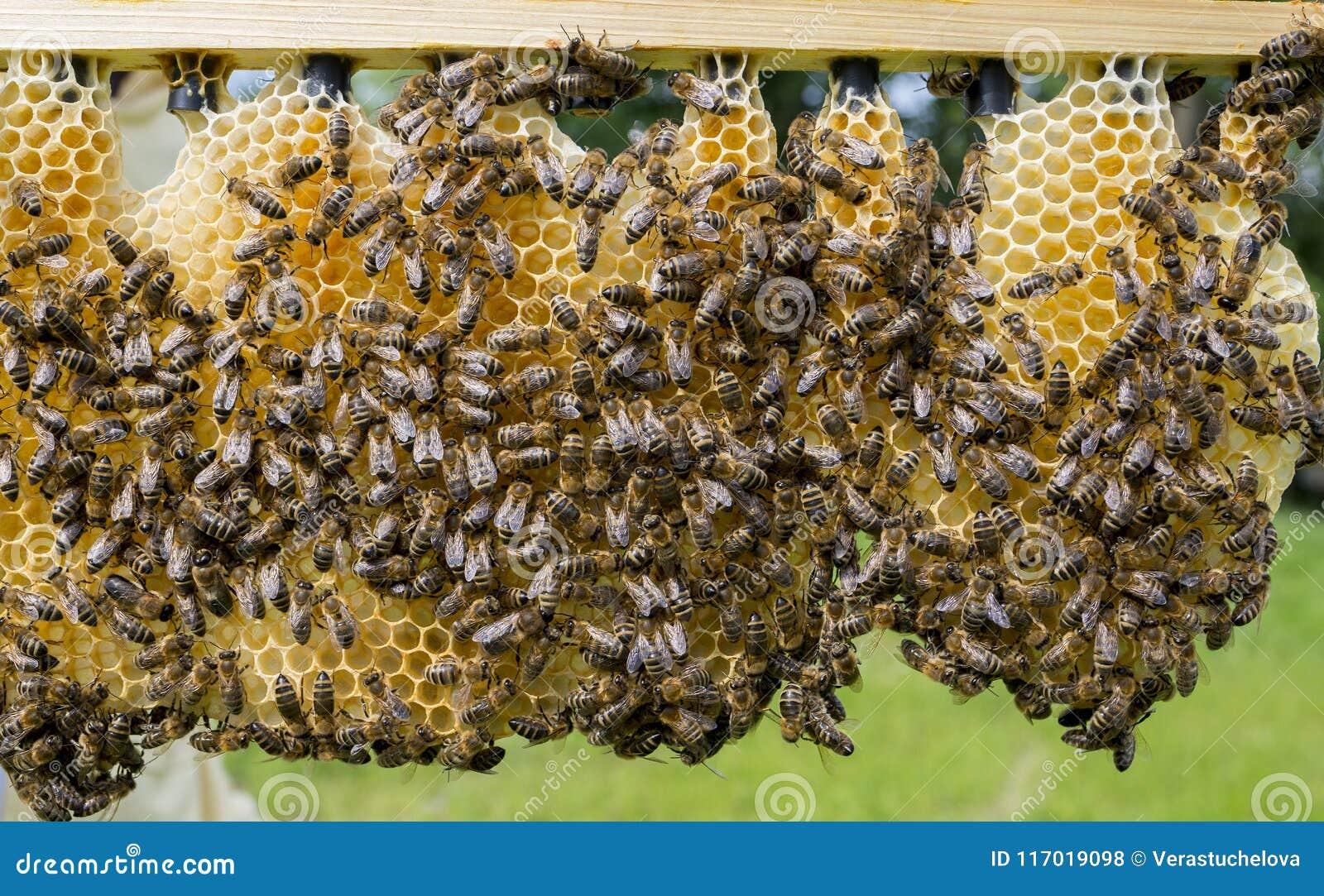 Celle reali con le regine dell ape