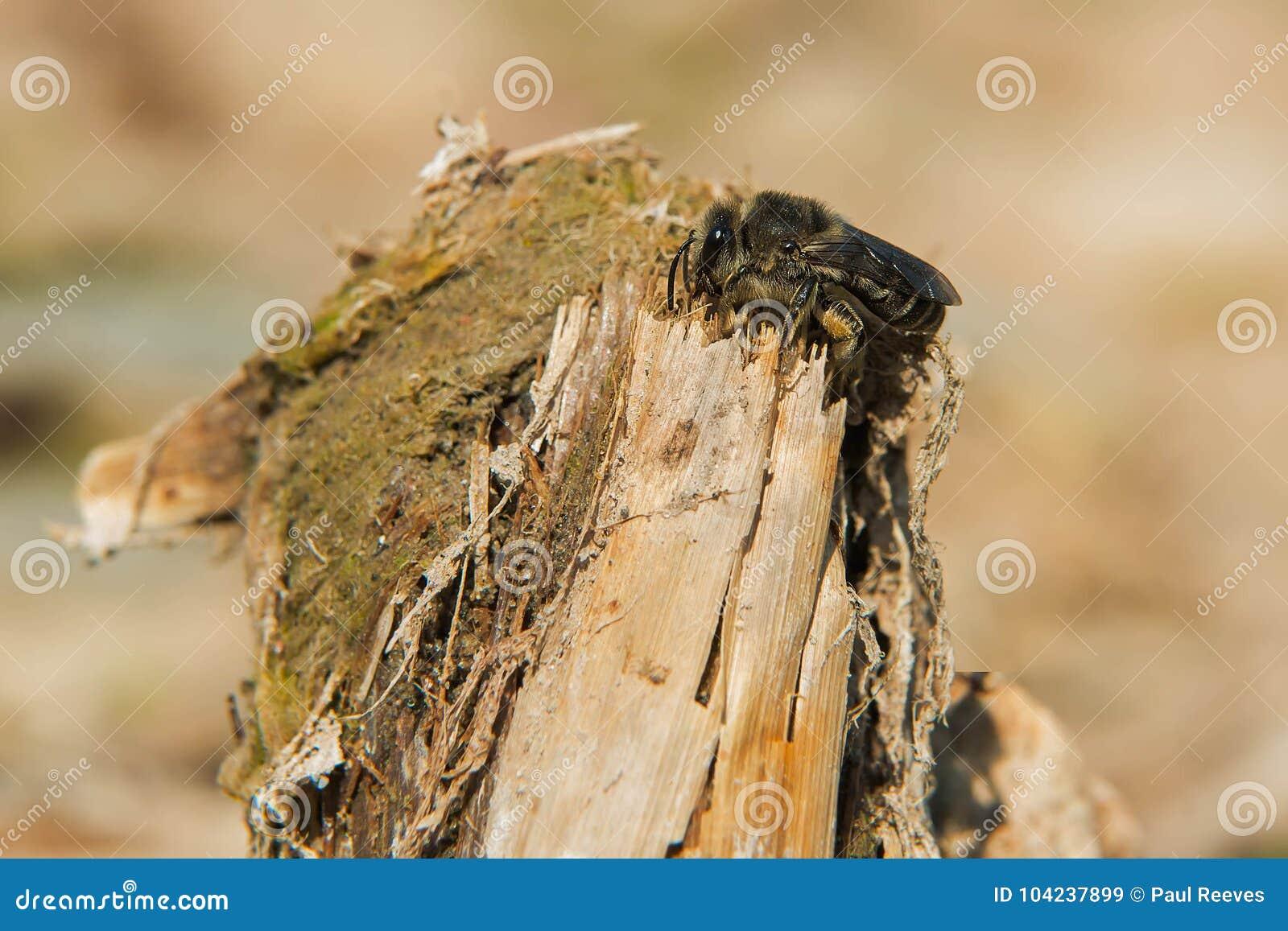 Cellophane Bee - Colletes species