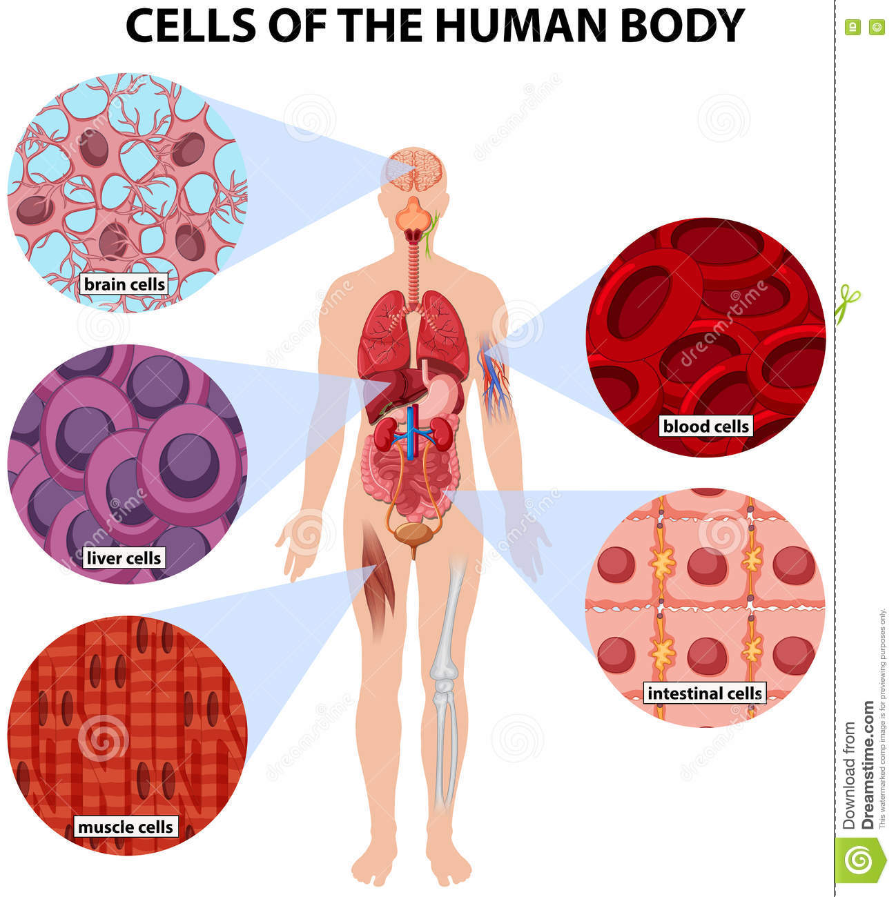 Cells Of The Human Body Stock Vector Illustration Of Blood 73718676