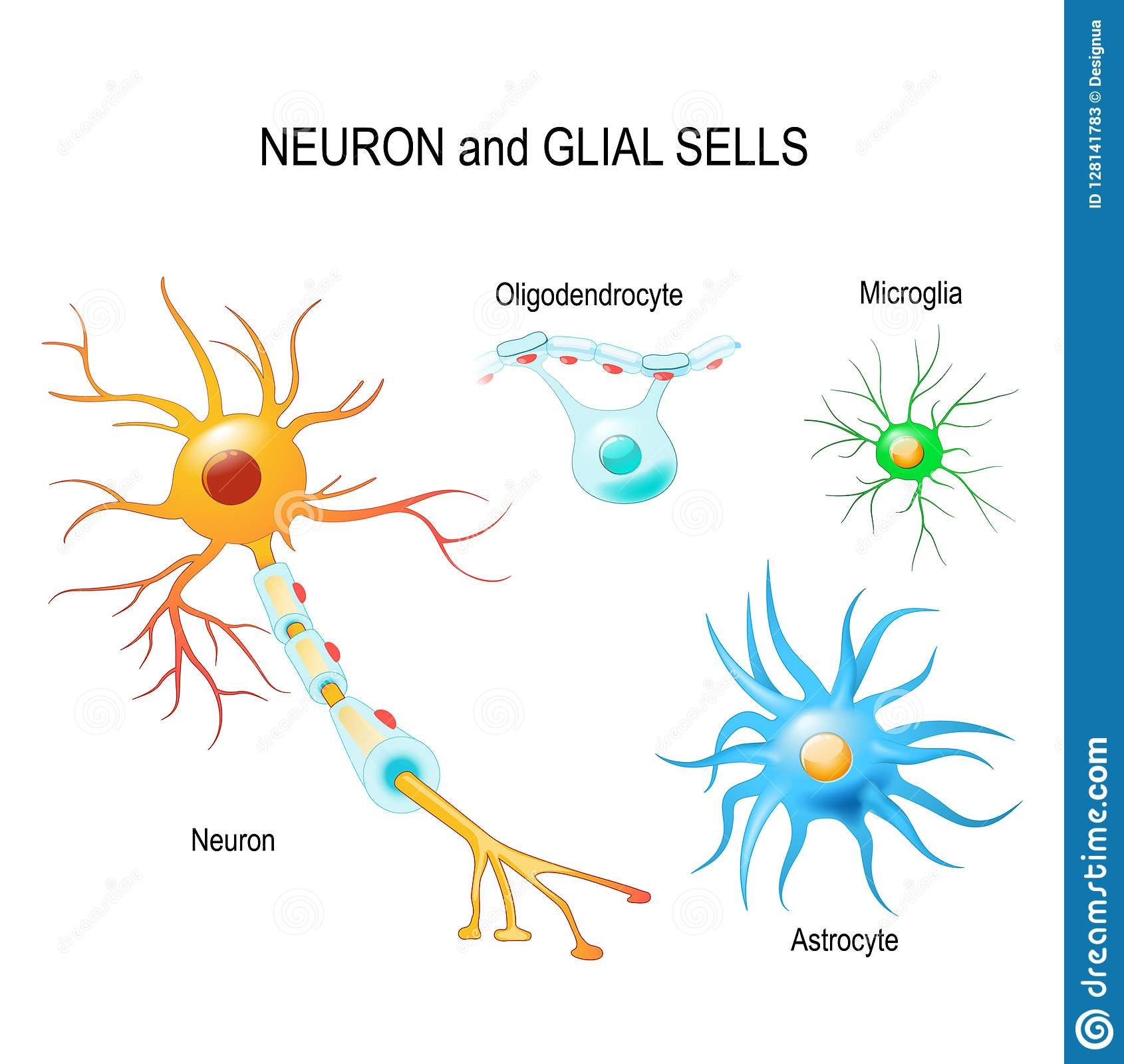 Cells Of Human`s Brain. Neuron And Glial Cells Microglia ...  Cells Of Human`...
