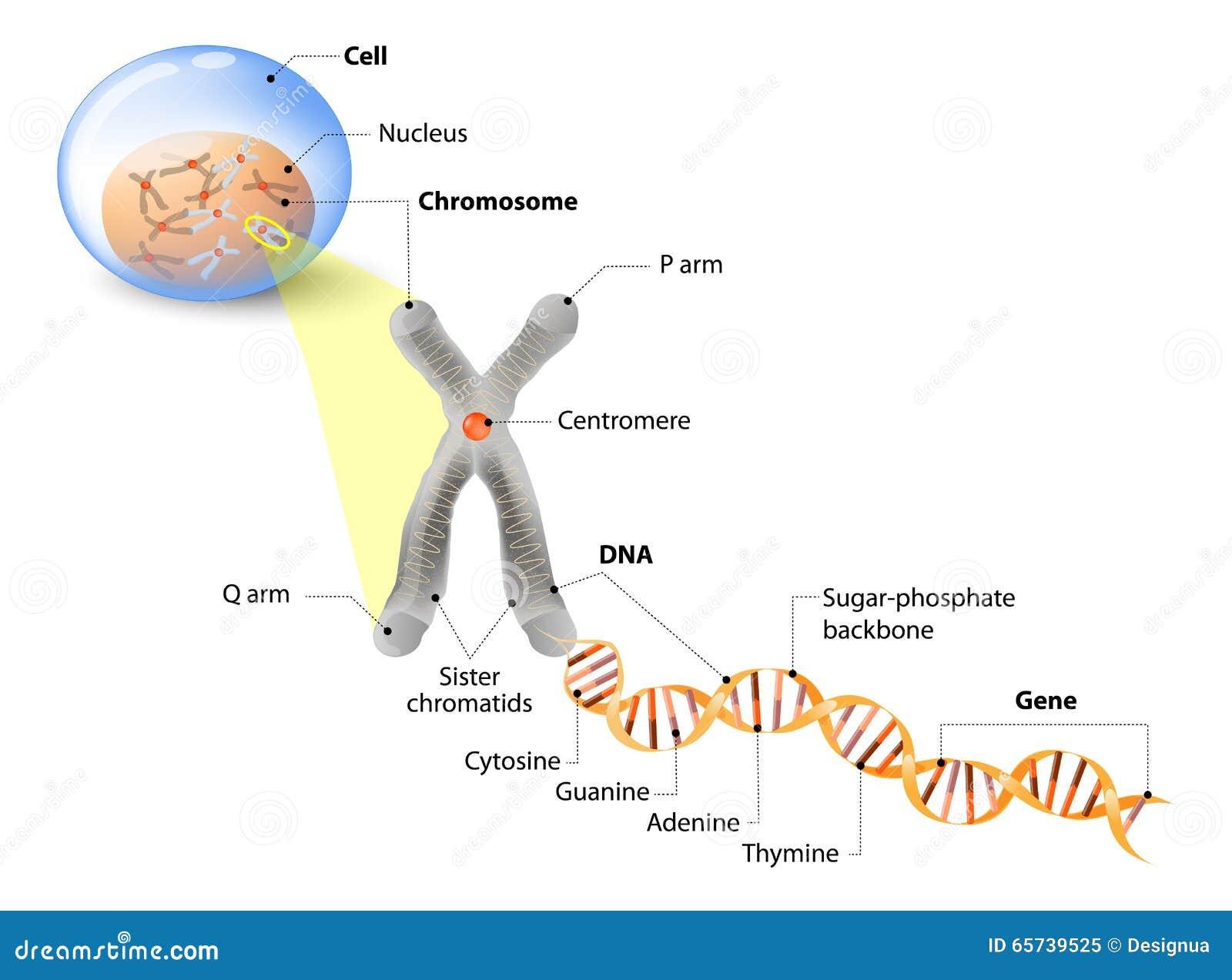 , cromosoma, DNA e gene Struttura della cellula La molecola del DNA ...